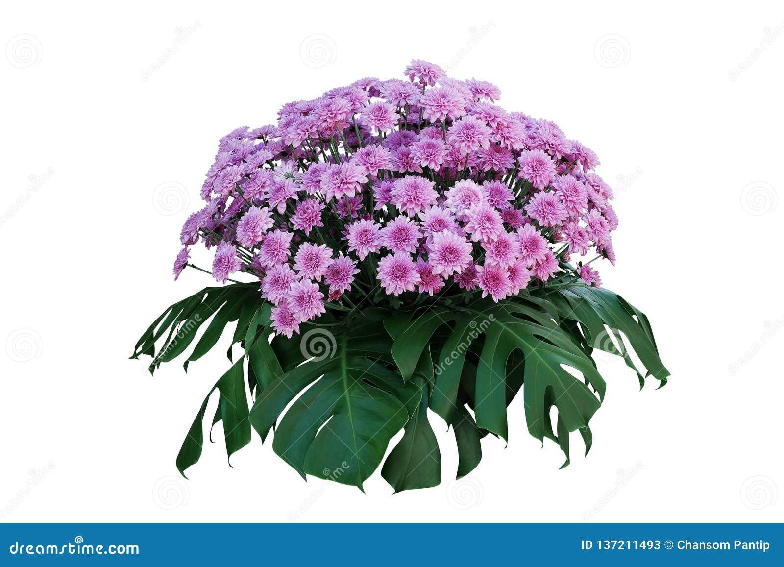 Purpurfärgade krysantemumblommor med tropiska sidor Monstera, blom- ordning för dekorativt naturbuskepodium som isoleras på vit