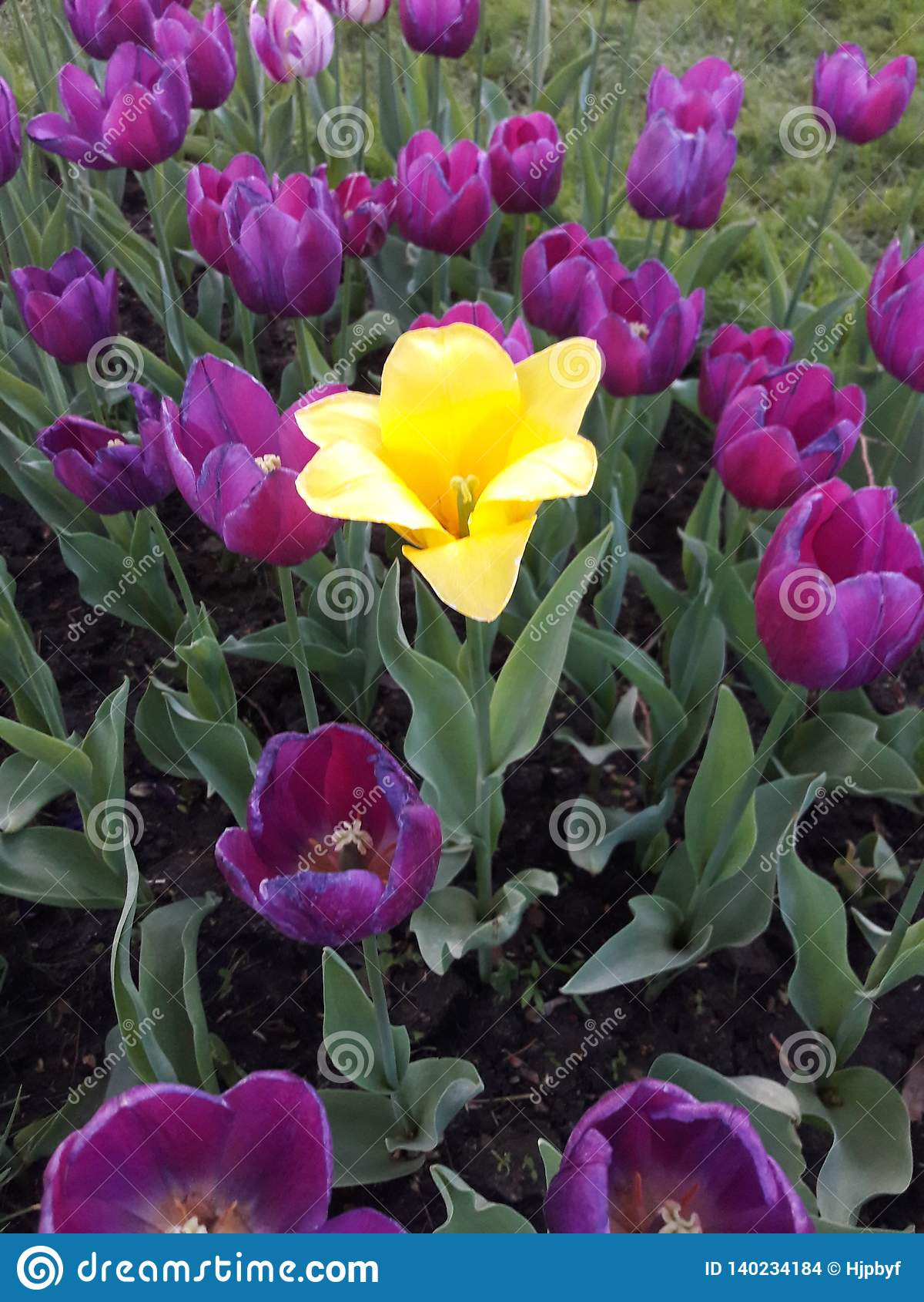 Purpurfärgade tulpan blommade i vår, en mot alla