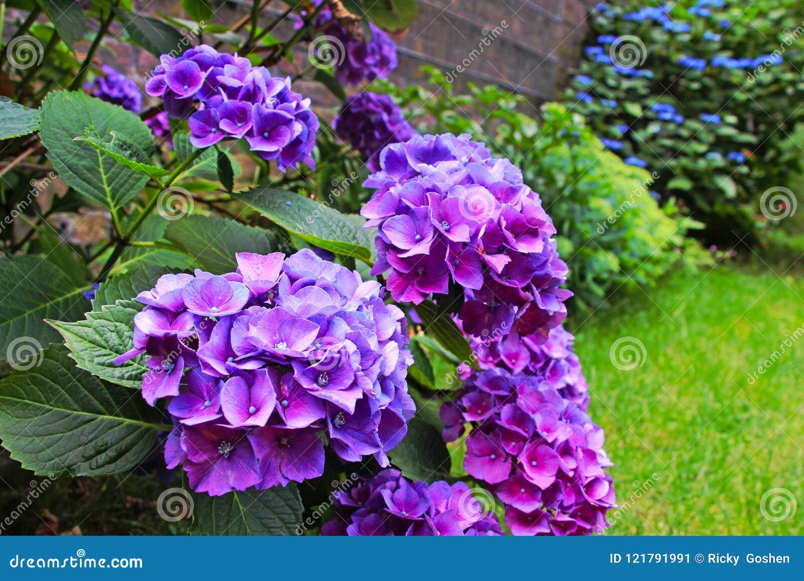 Purpurfärgade vanliga hortensior blommar i trädgården