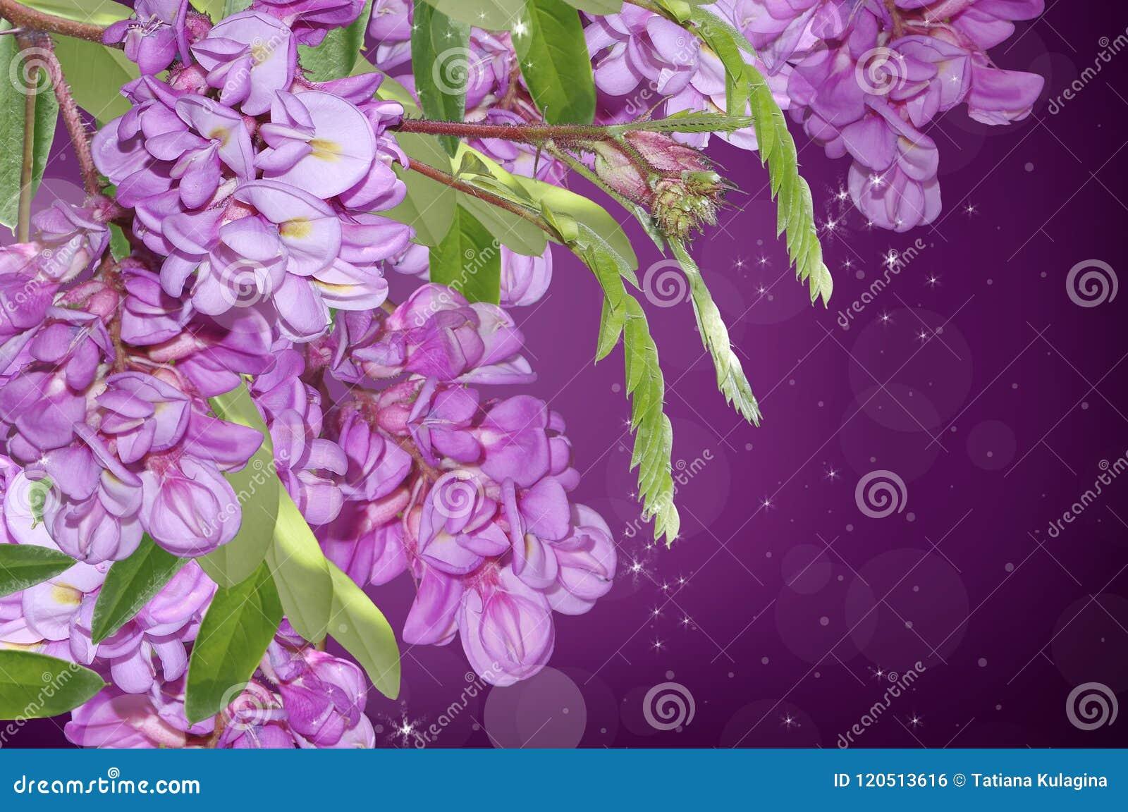 Purpurowa akacja