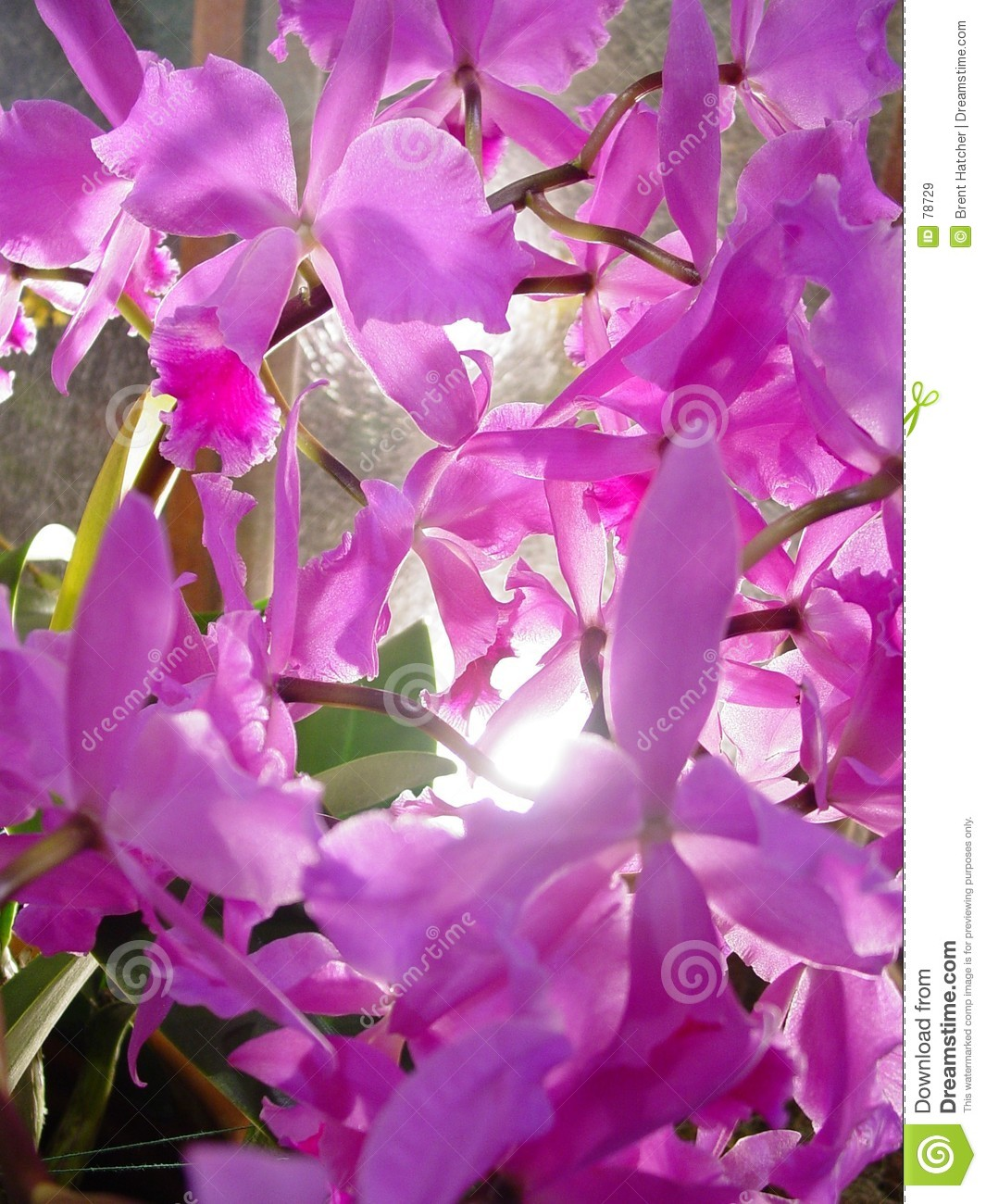 Purpurowe orchidee