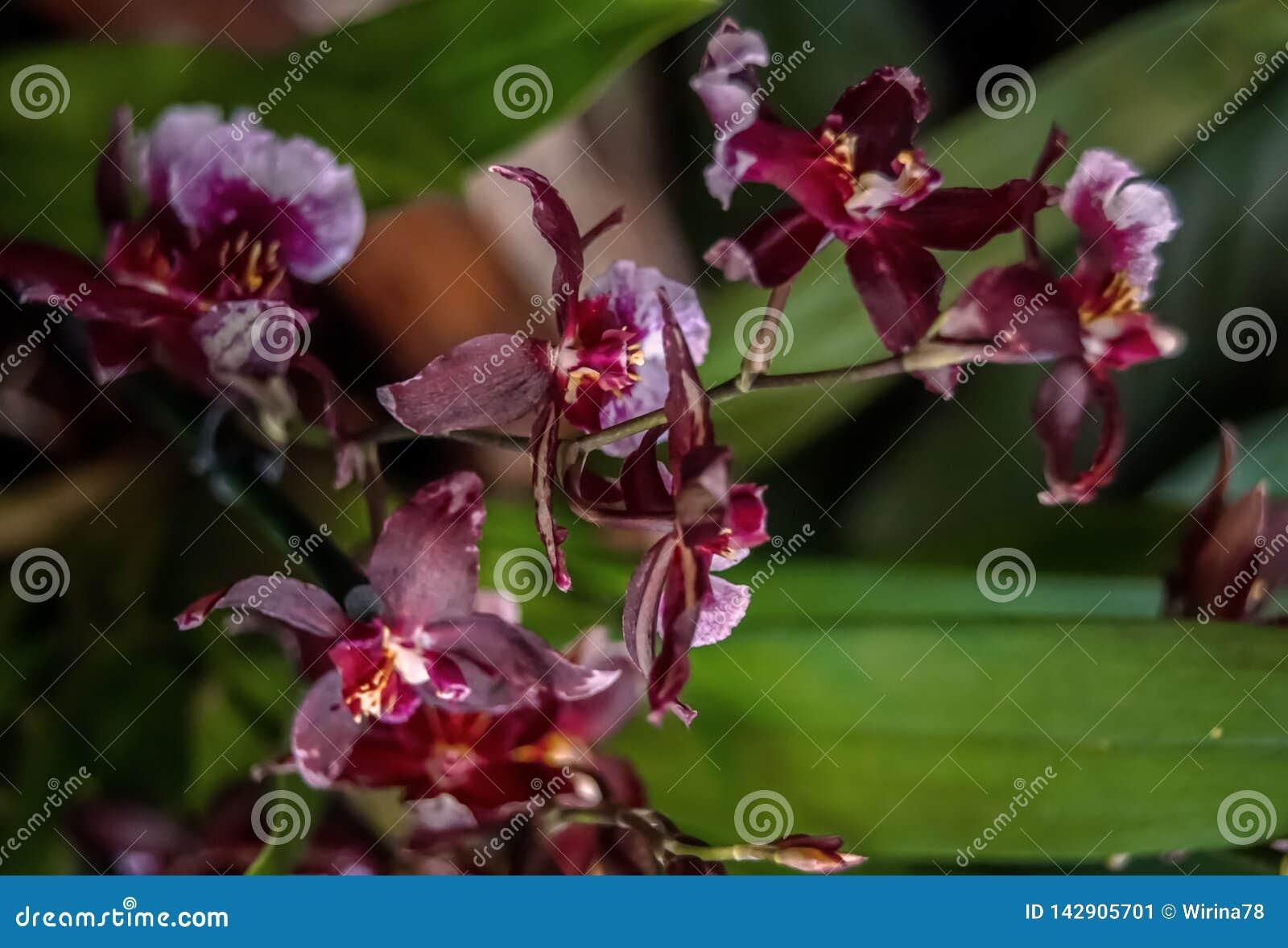 Purpurowe orchidee na ciemnozielonym tle zamkniętym w górę
