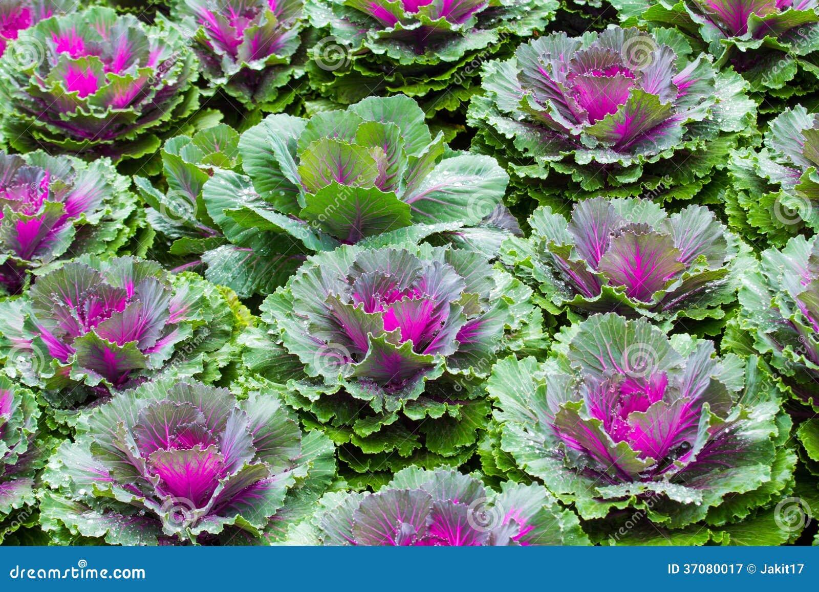 Download Purpurowe Ornamentacyjne Kapust Rośliny Obraz Stock - Obraz złożonej z rolnictwo, kwiat: 37080017