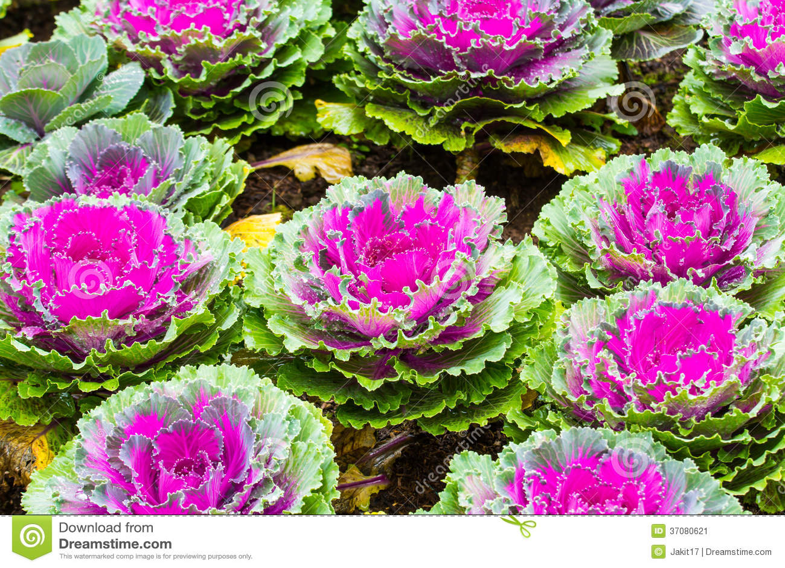Download Purpurowe Ornamentacyjne Kapust Rośliny Obraz Stock - Obraz złożonej z naturalny, zbliżenie: 37080621