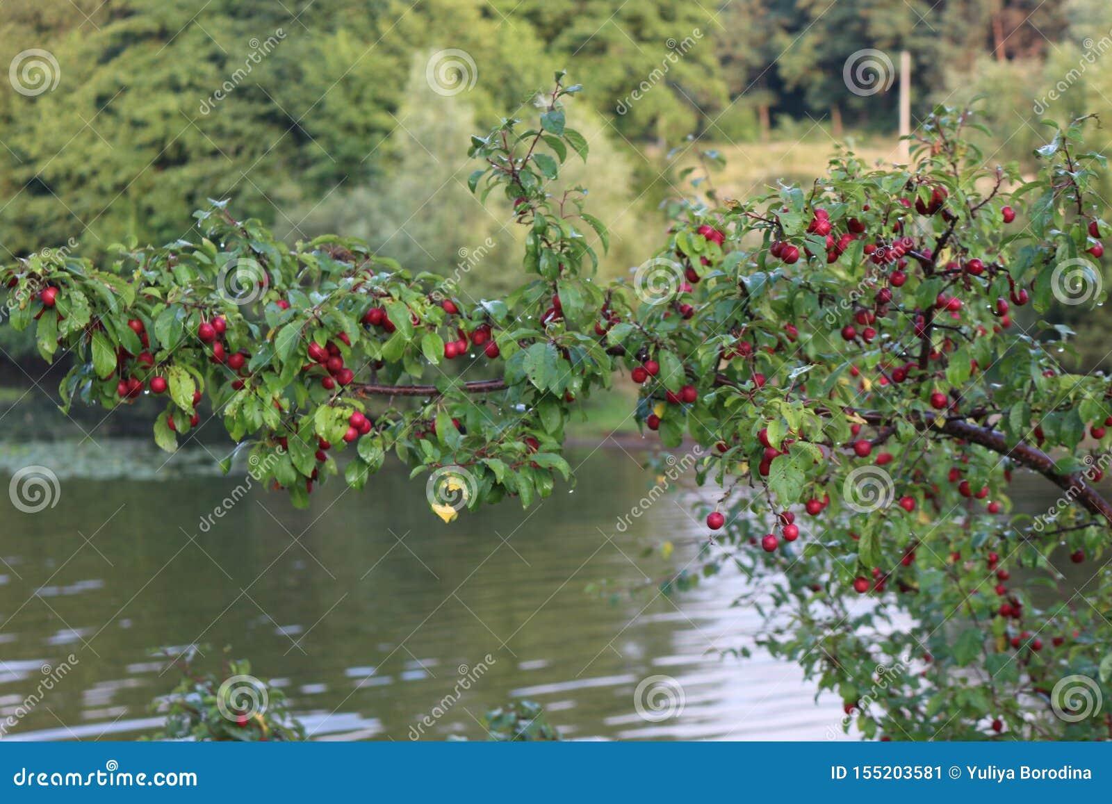 Purpurowe owoc czereśniowa śliwka dojrzewali na drzewie w późnym lecie