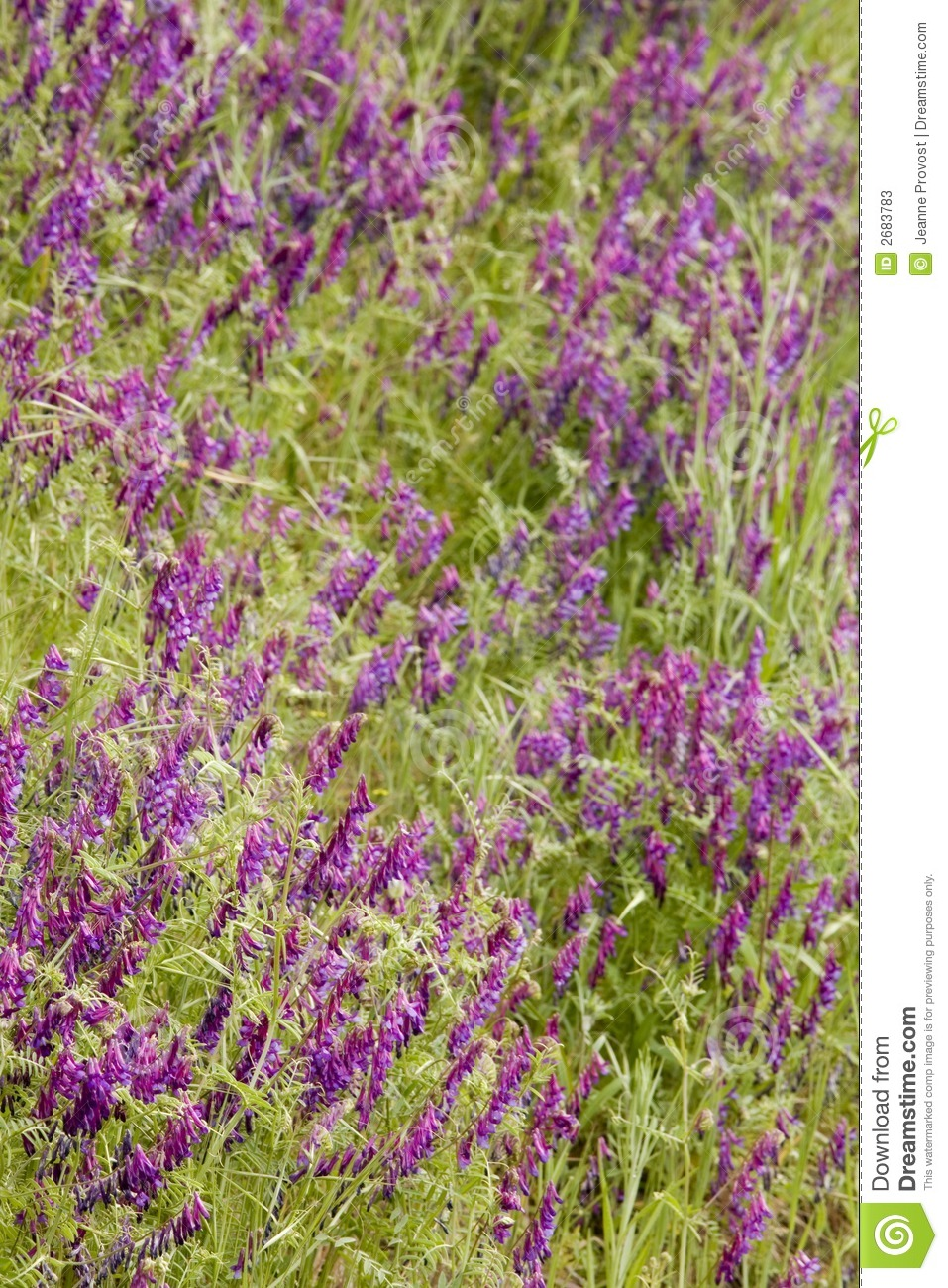 Purpurowe wildflowers bystre