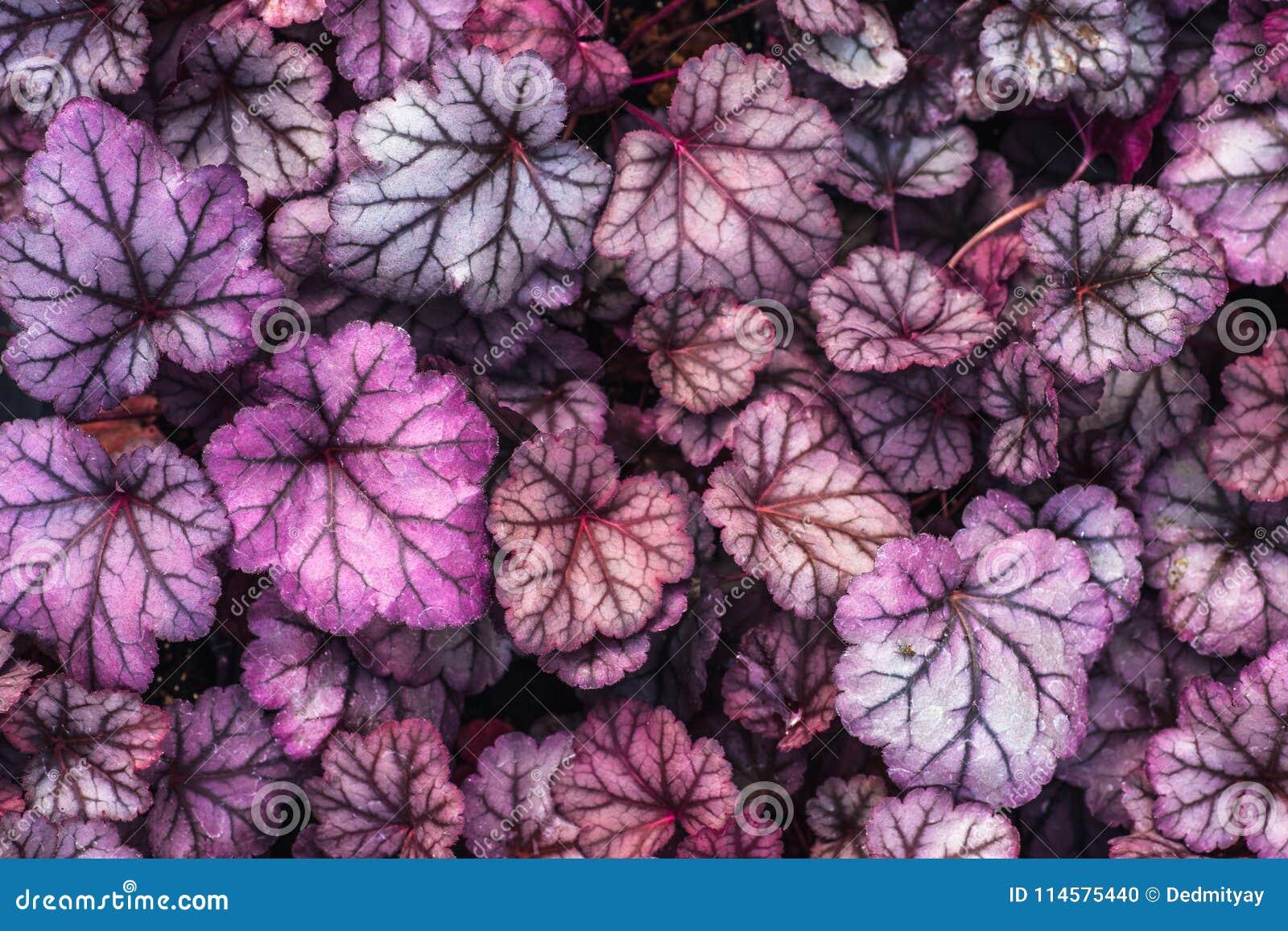 Purpurowego Heuchera hybrydowy obsydian, odgórny widok Jaskrawi liście Heuchera w glasshouse Dekoracyjny ulistnienia tło