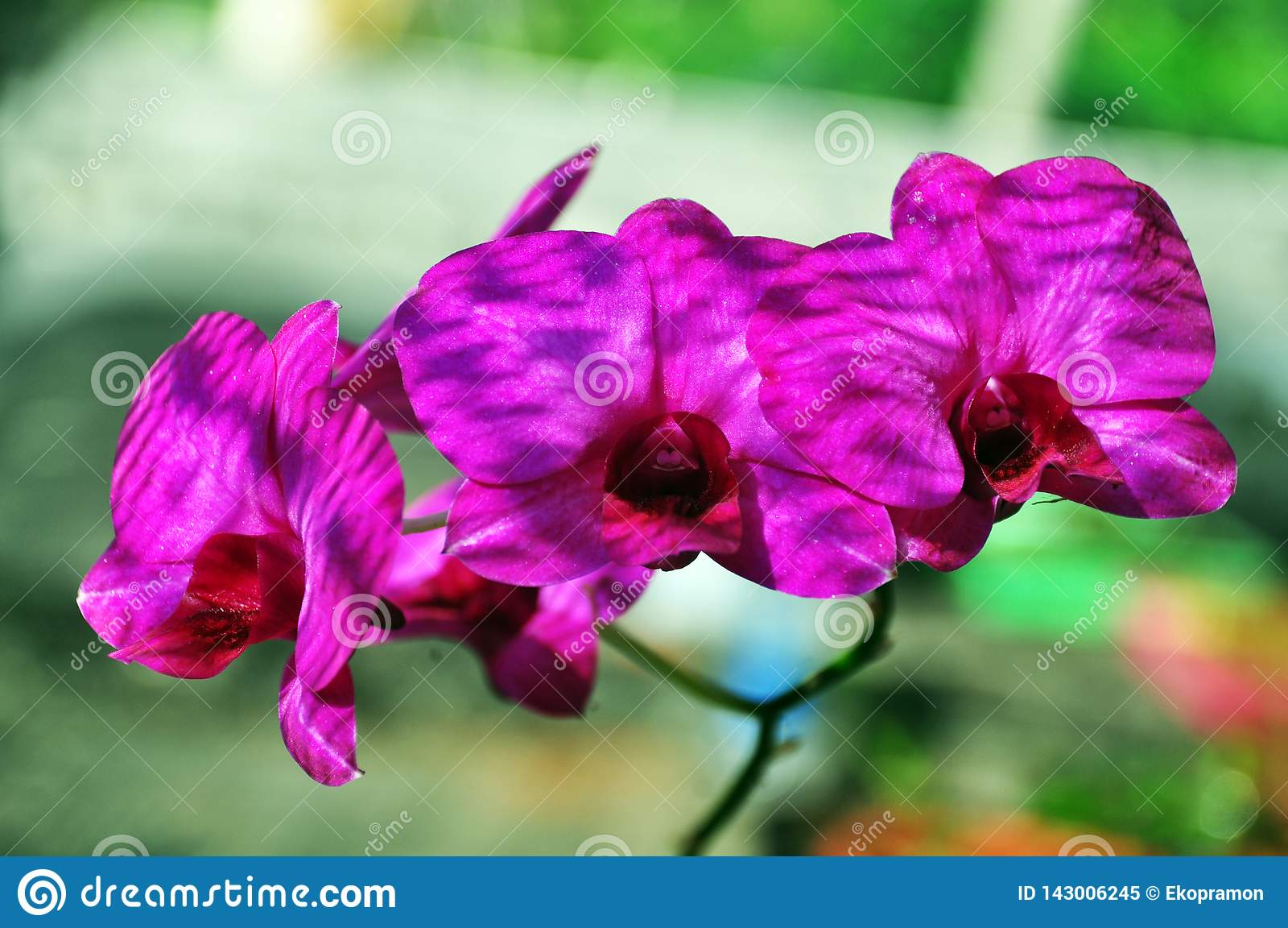Purpurowej księżyc storczykowy kwiat