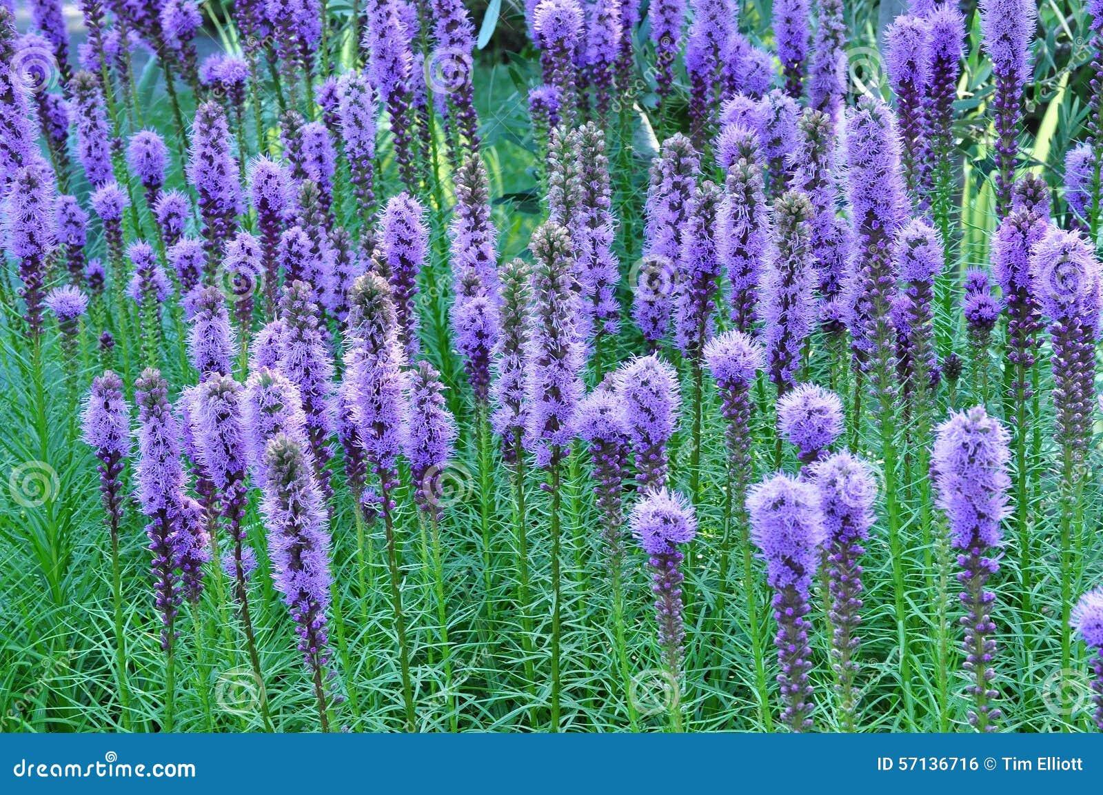 Purpurowi Gayfeather kwiaty