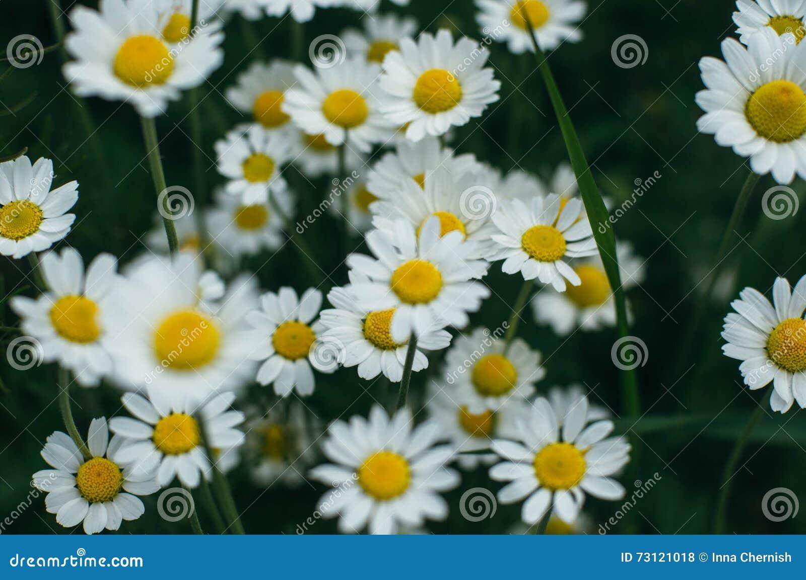 Purpurowi kwiaty, chamomile trawa, piękna