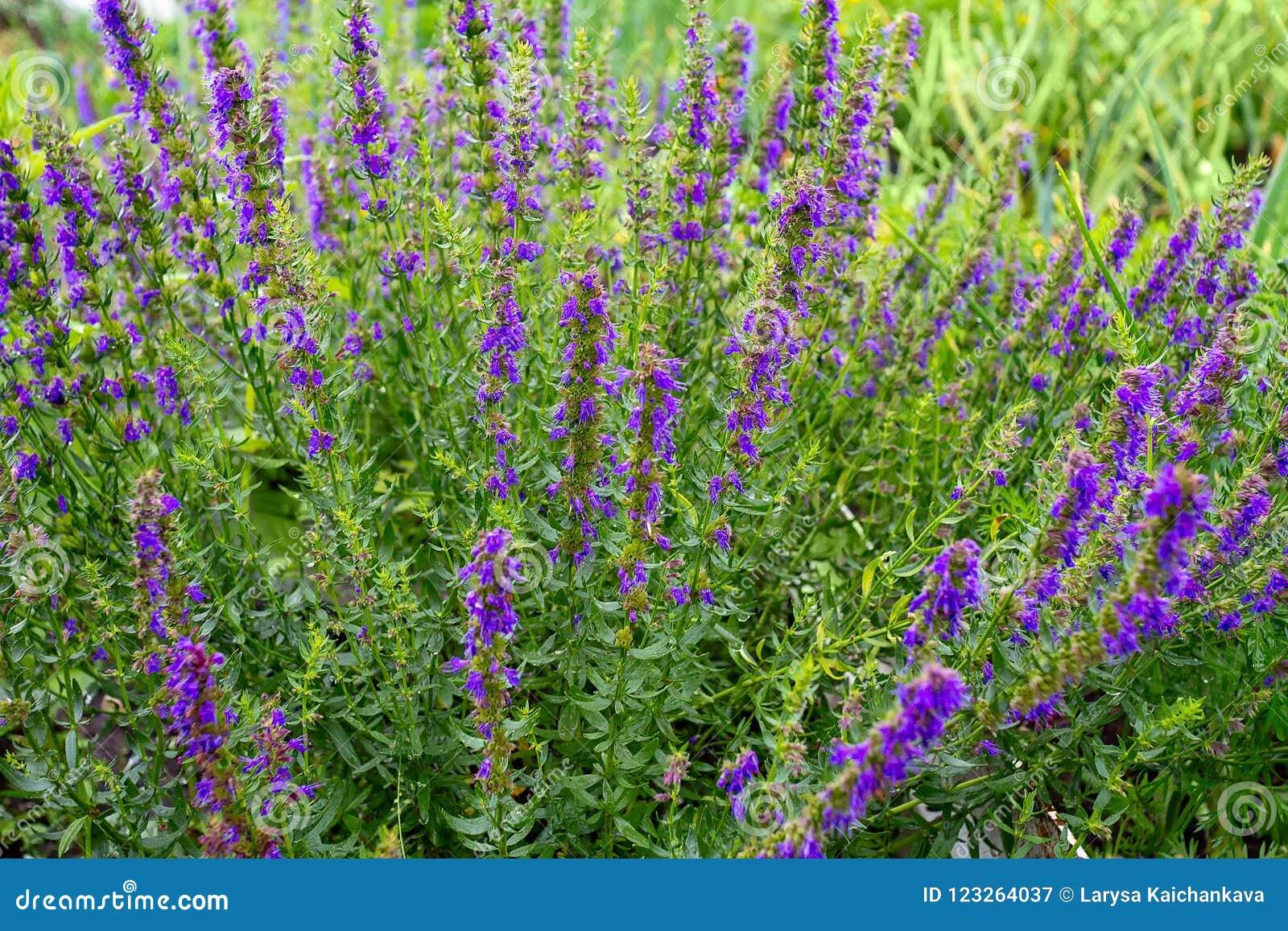 Purpurowi kwiaty Hyssopus officinalis hizop