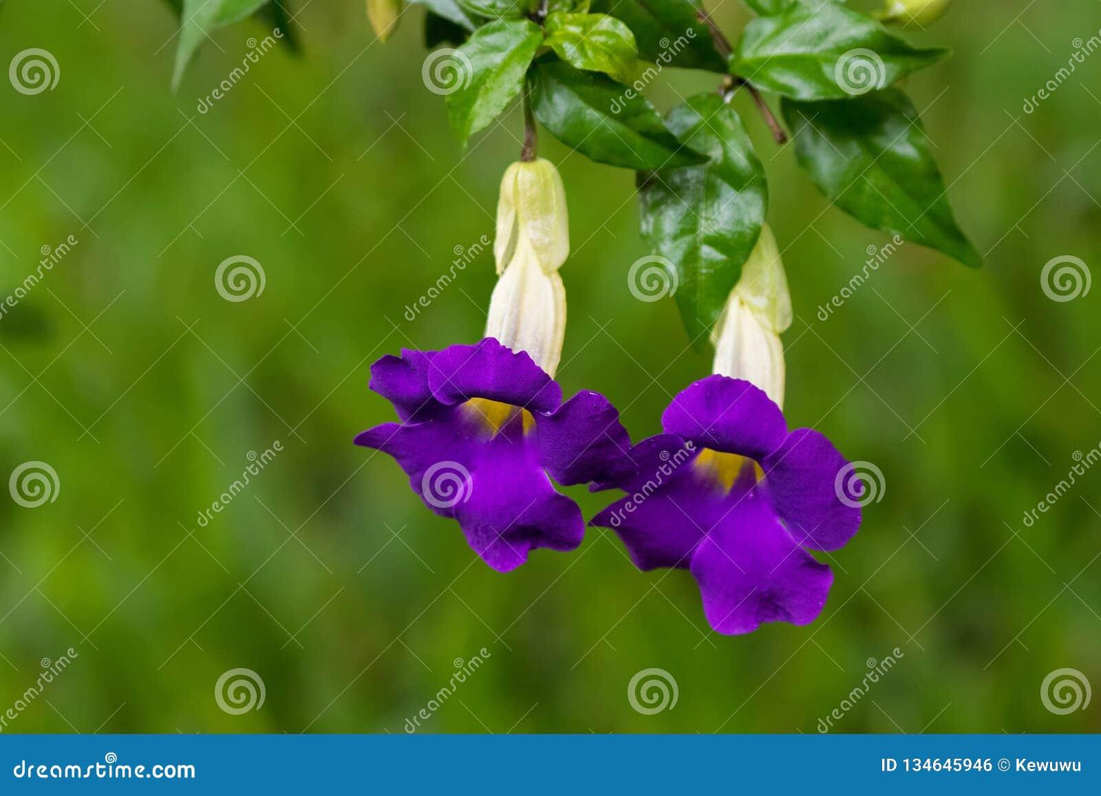 Purpurowi kwiaty krzaka clockvine nazwana królewiątko salopa, także, wiesza od gałęziastego Thunbergia erecta