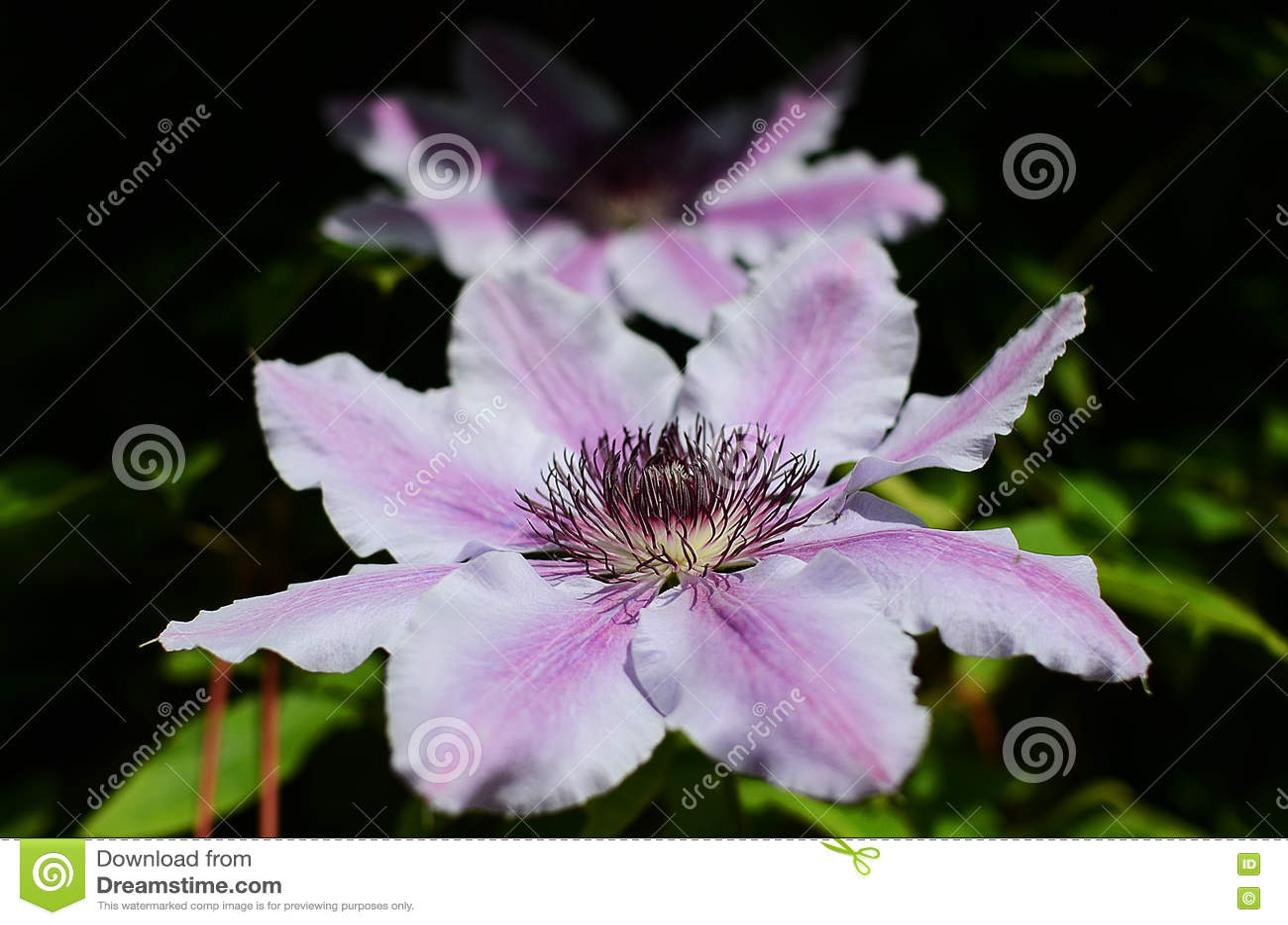 Purpurowi kwiaty w kraju ogródzie