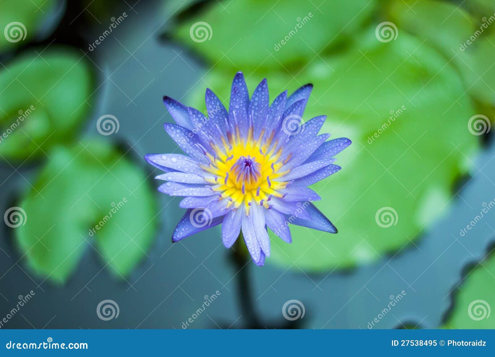 Purpurowi Lotosowi kwiaty