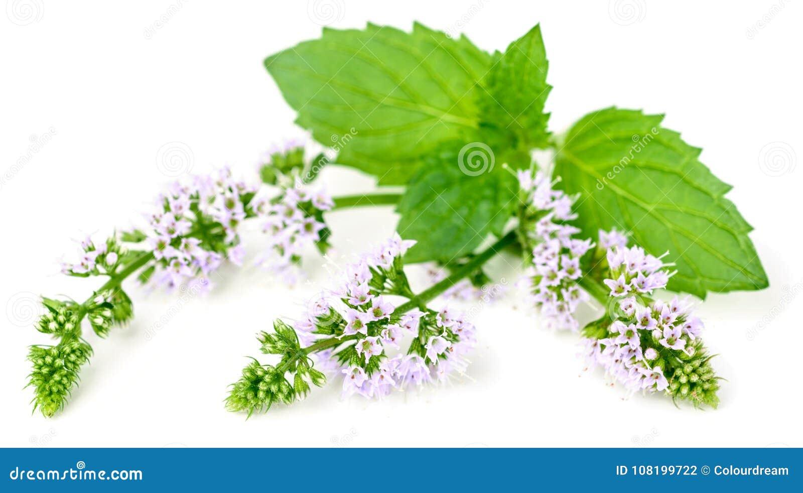 Purpurowi miętówka kwiaty odizolowywający na bielu
