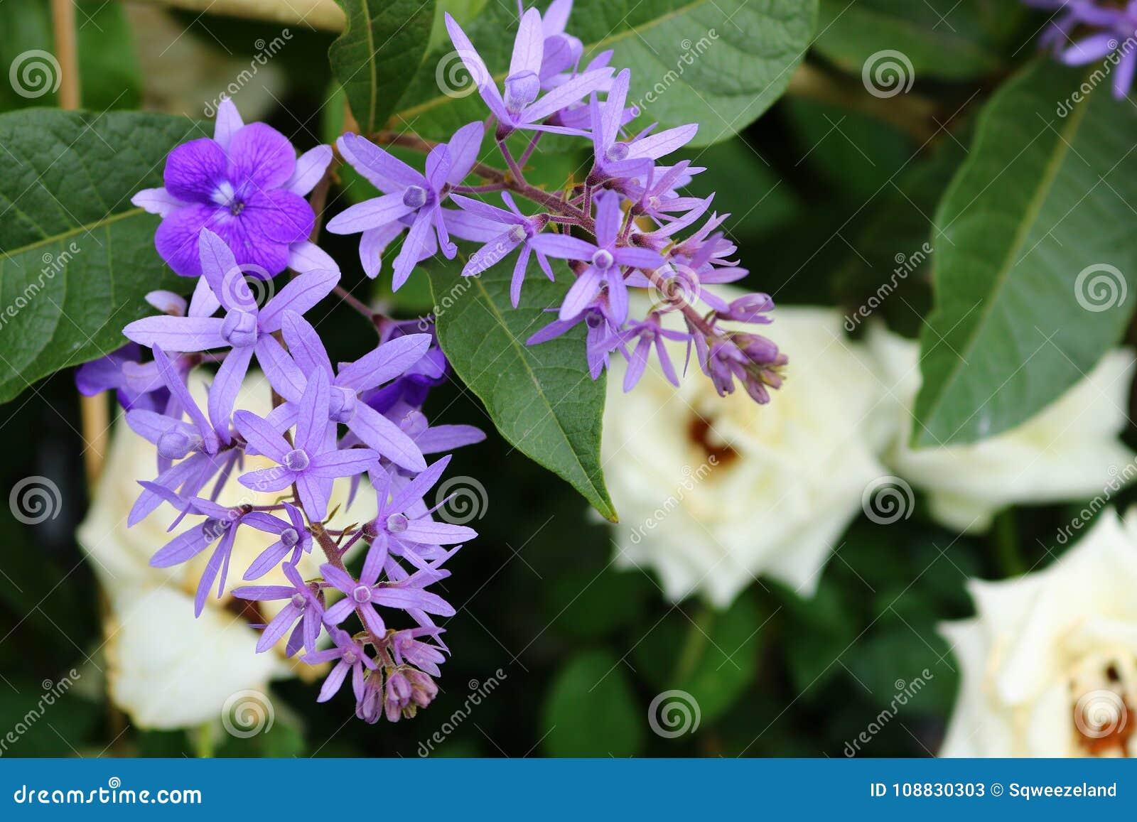 Purpurowi wianków kwiaty