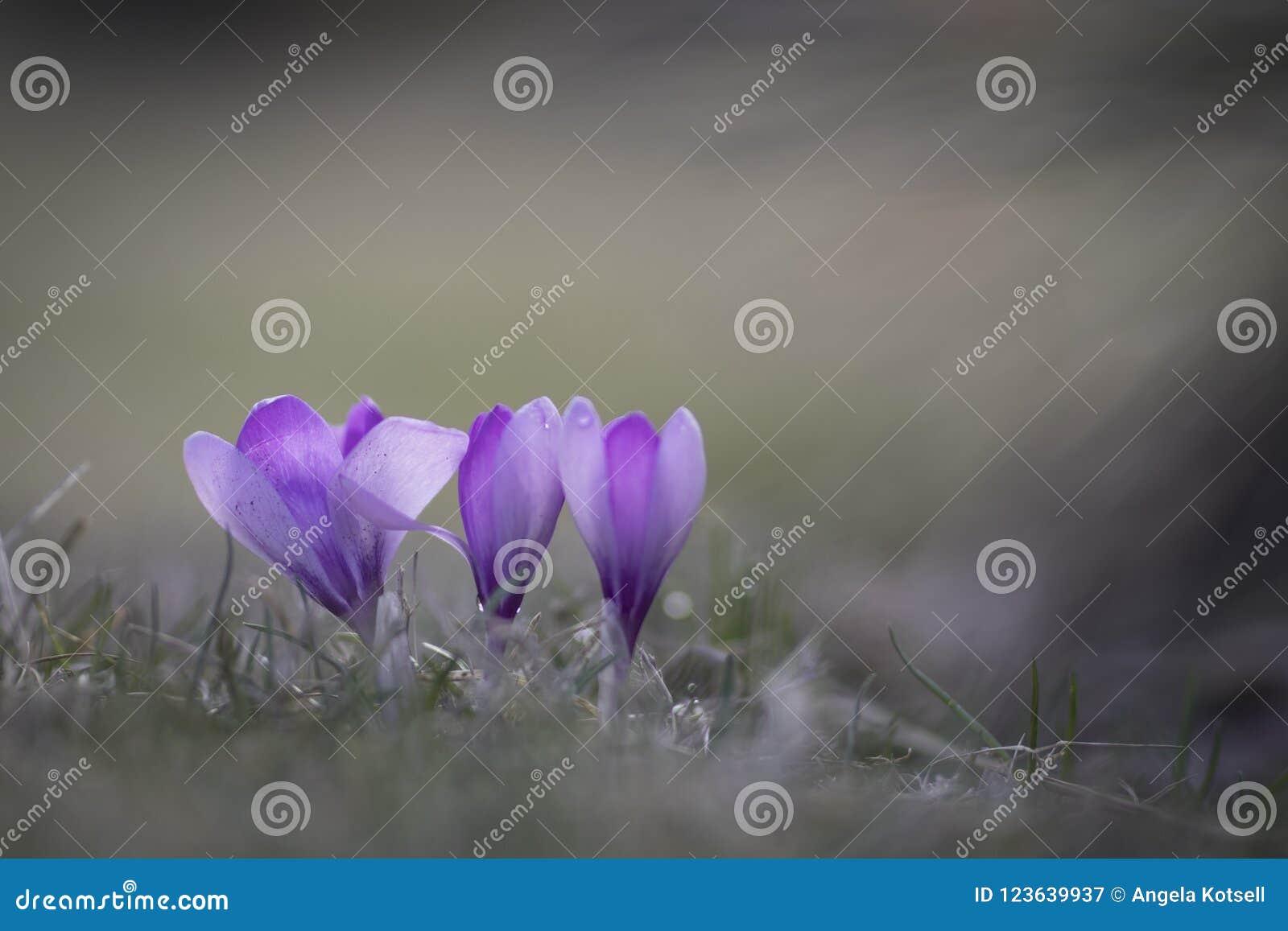 Purpurowi wiosna krokusa kwiaty
