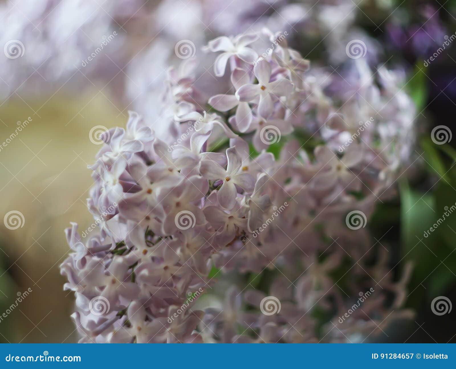 Purpurowy bez kwitnie outdoors