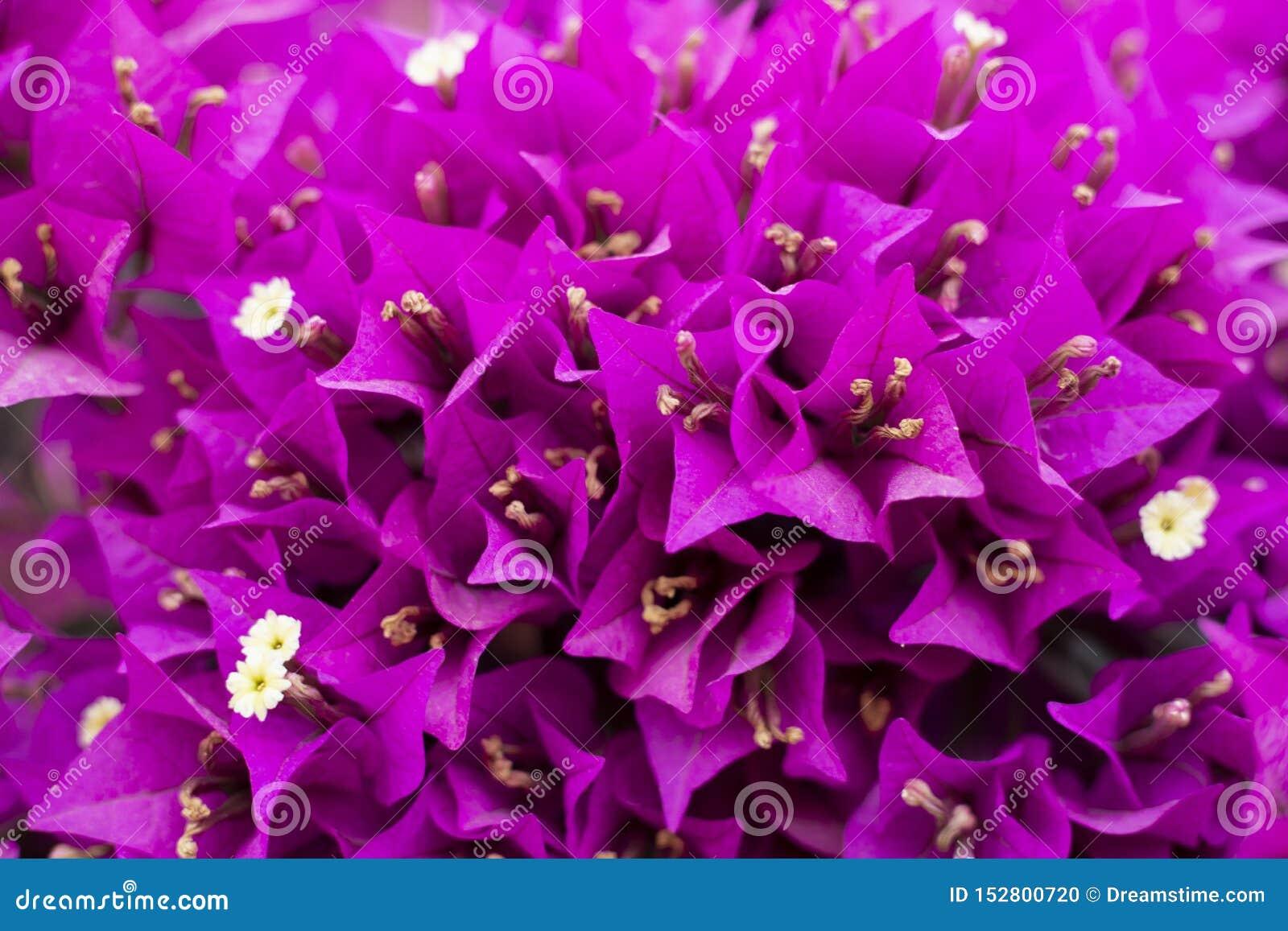 Purpurowy bougainvillea kwitnie na drzewnej teksturze i tle
