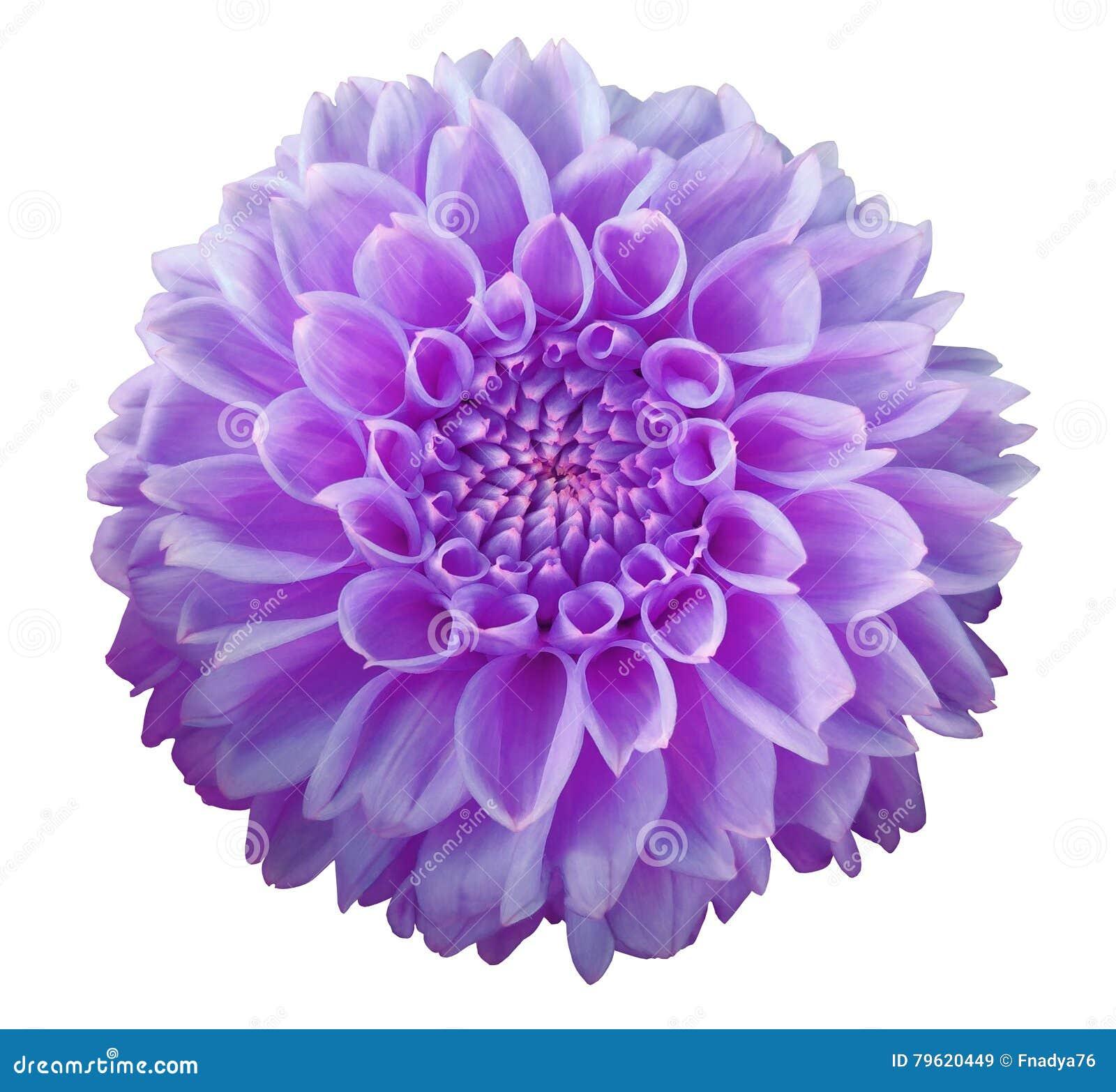 Purpurowy dalia kwiat, biały tło odizolowywający z ścinek ścieżką zbliżenie