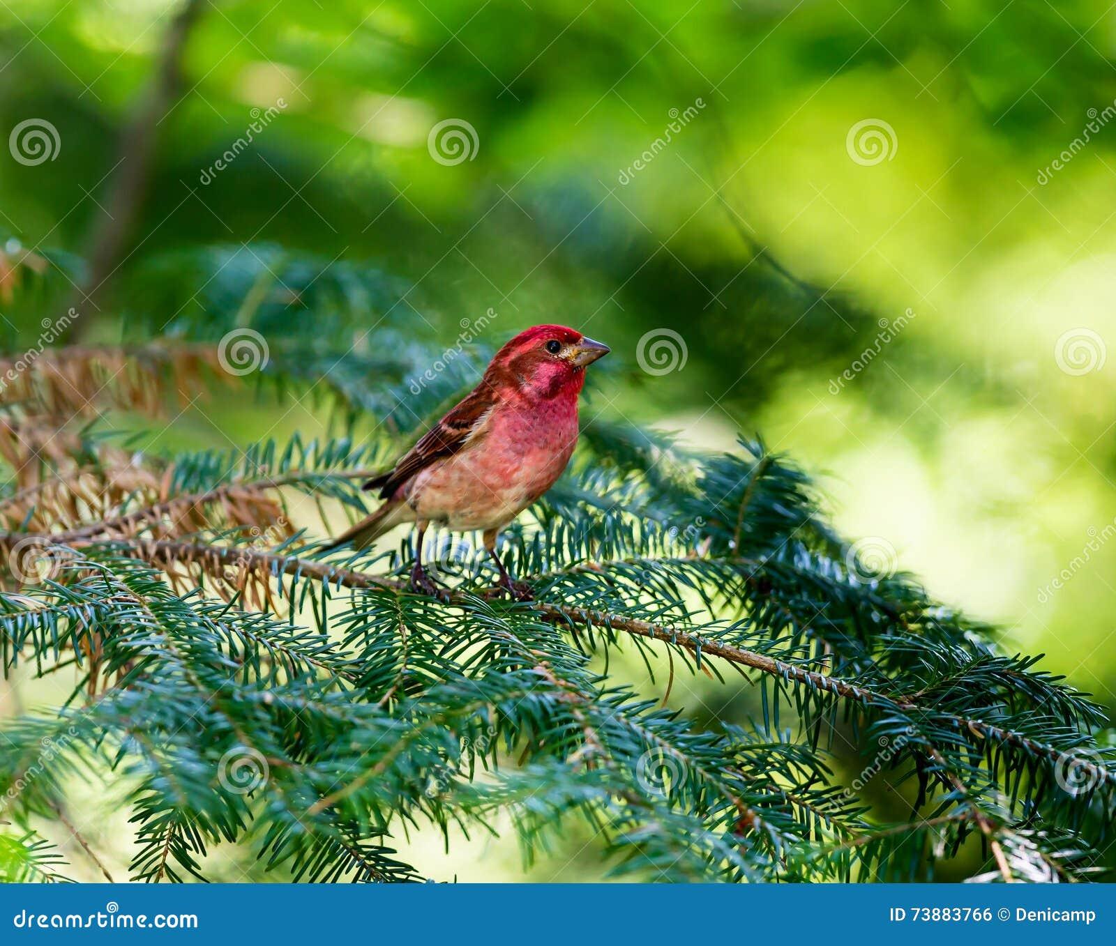 Purpurowy Finch