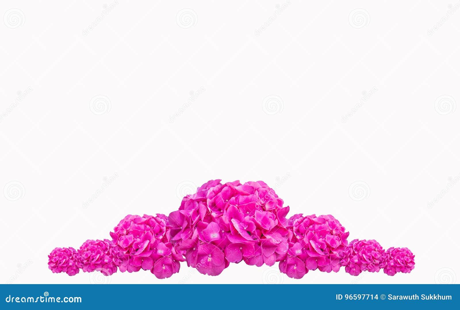 Purpurowy hortensja kwiatu hortensi macrophylla, menchia kwiat odizolowywający na białym tle