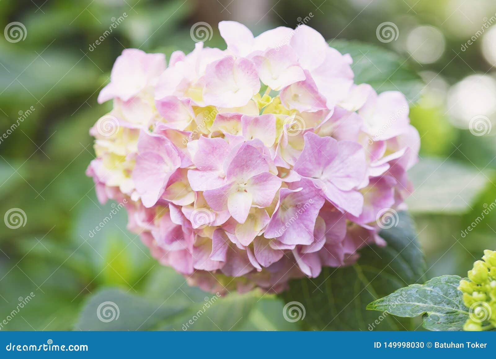 Purpurowy hortensja kwiatu hortensji macrophylla