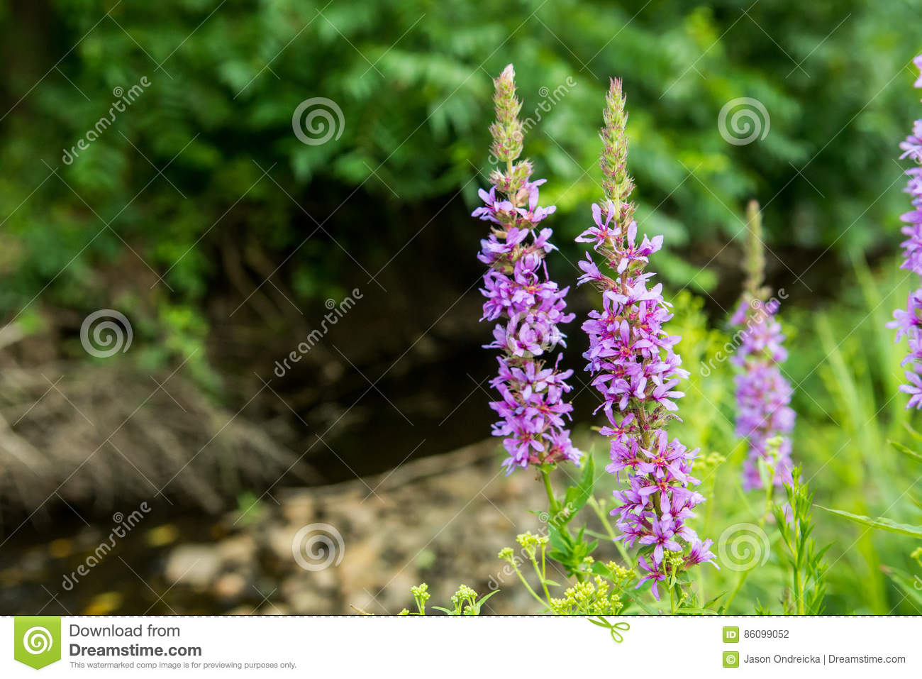 Purpurowy Loosestrife