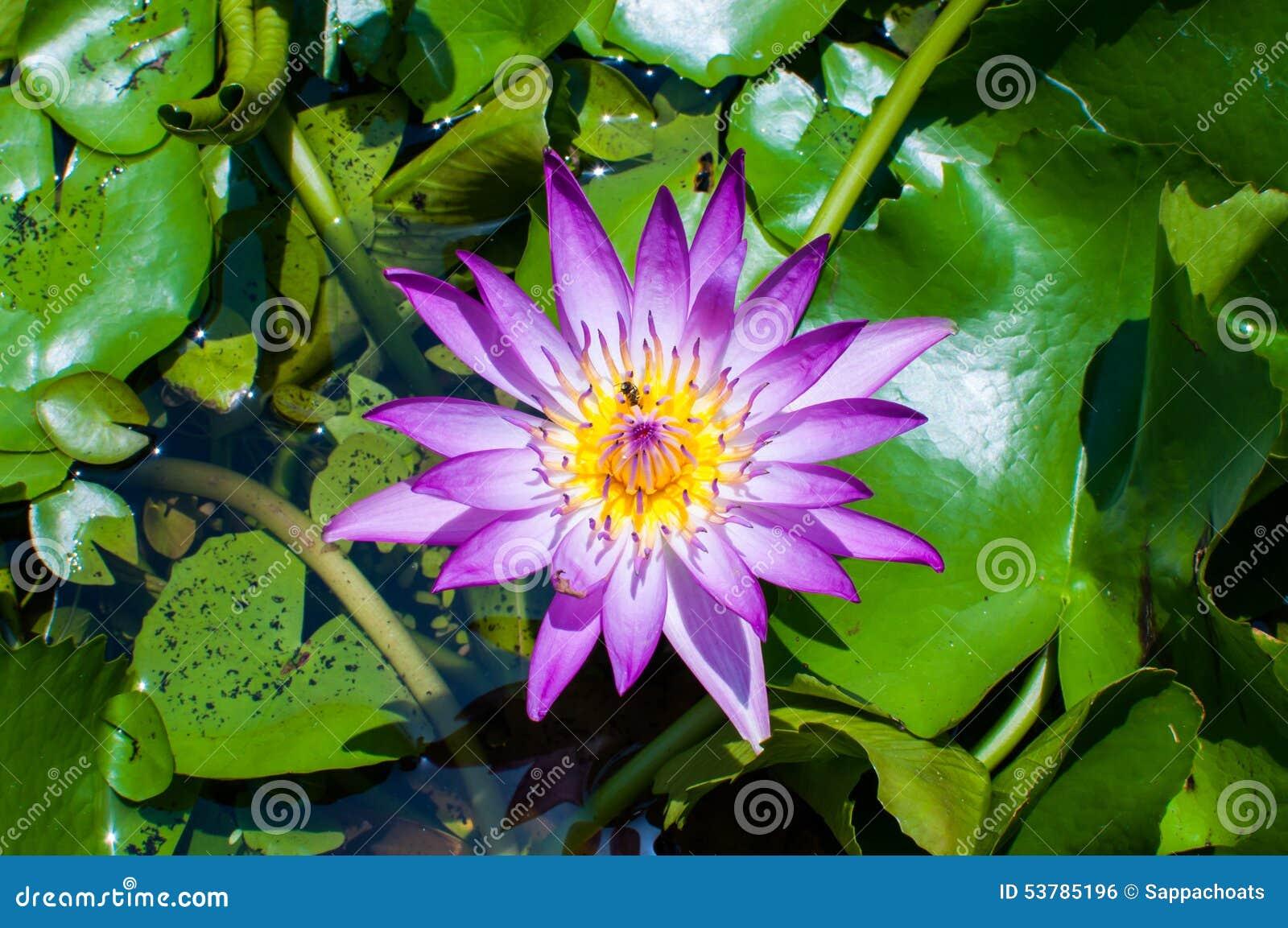 Purpurowy lotosowy kwiat