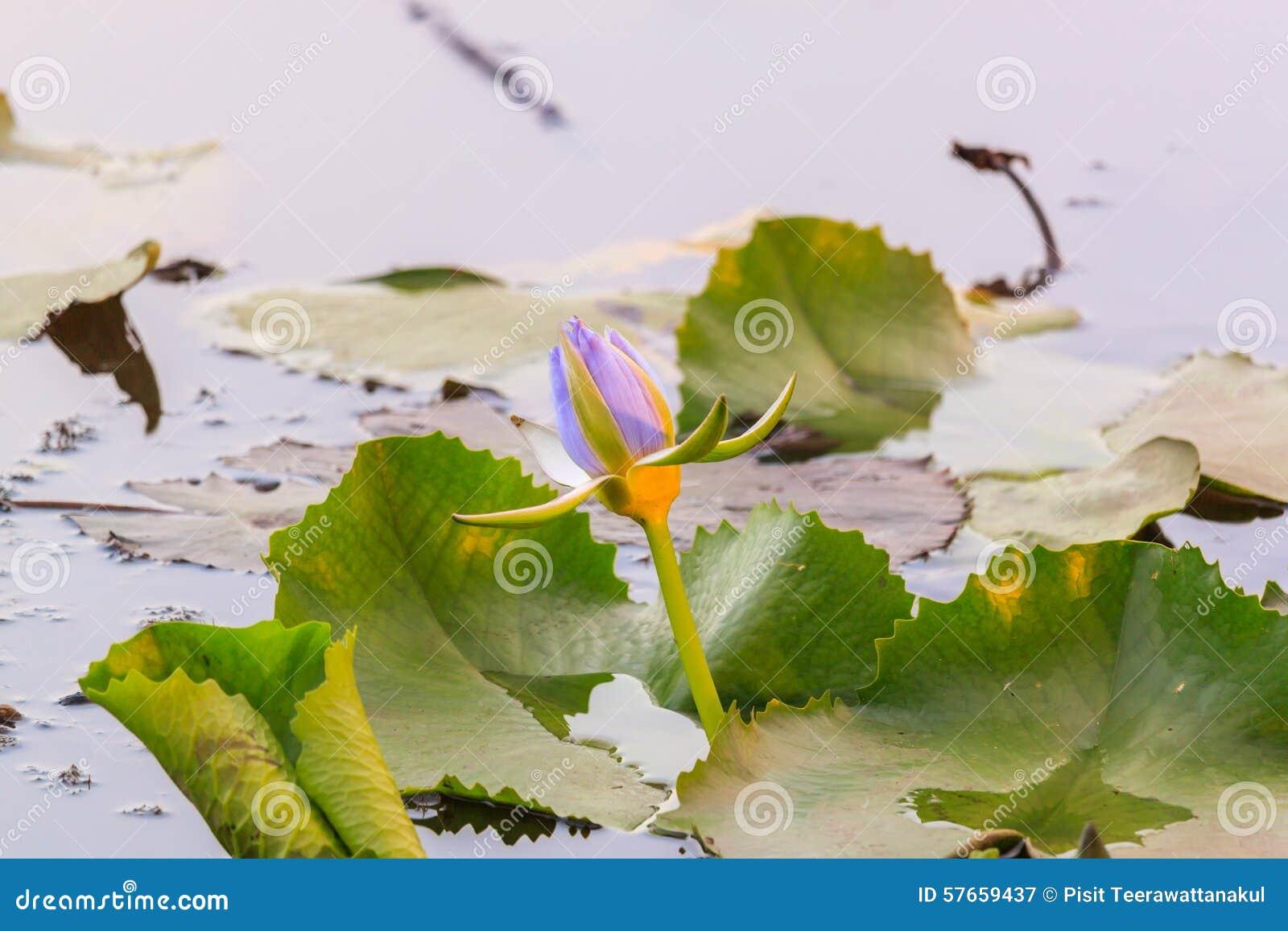 Purpurowy Lotus, waterlily kwitnie w stawie