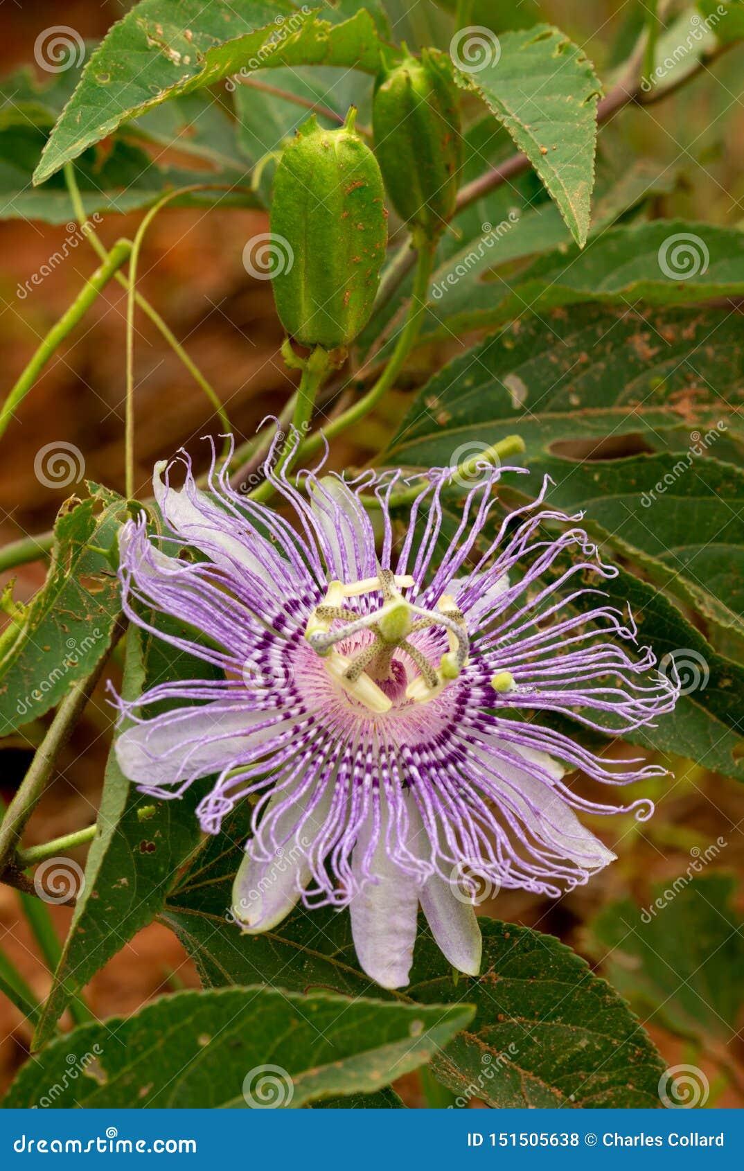 Purpurowy passionflower kwiat