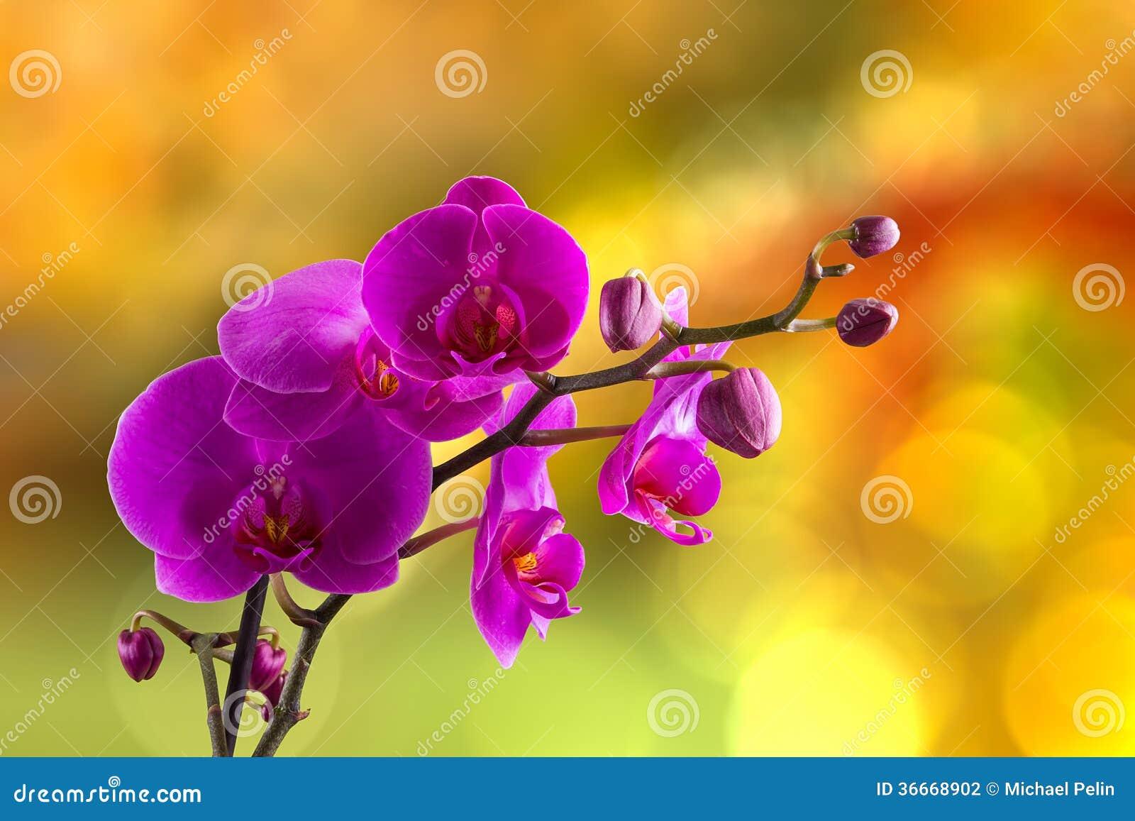 Purpurowy storczykowy kwiat na plamy tle