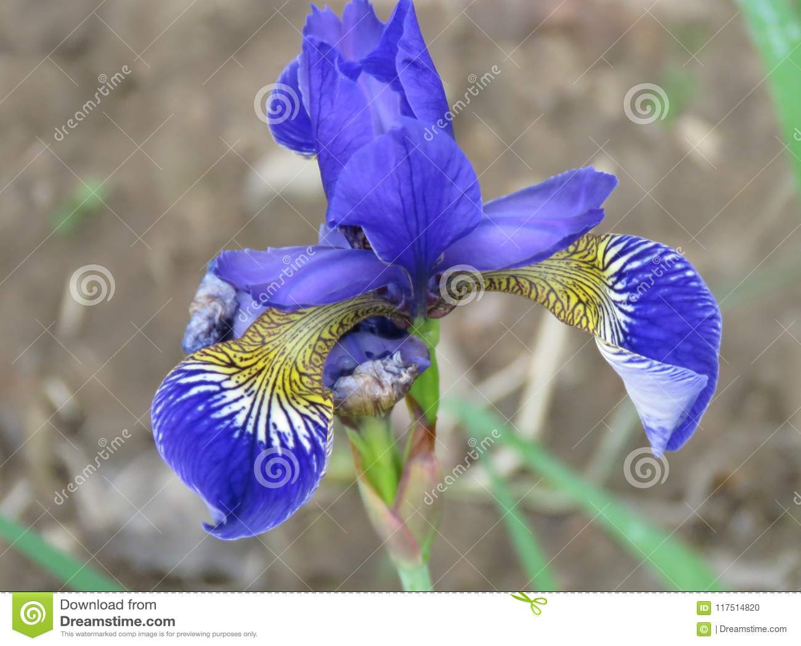 Purpurowy Syberyjski Irysowy Irysowy sibirica kwiat, zamyka w górę widoku