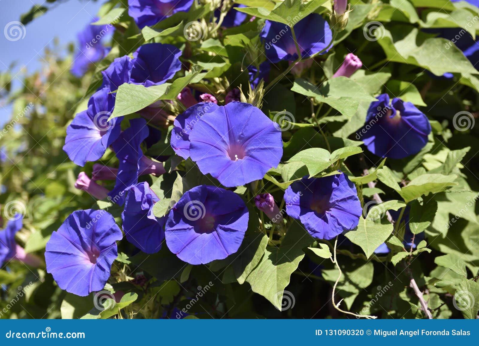 Purpurowy tubowy kwiat pięcie rośliny obwieszenie od słupa