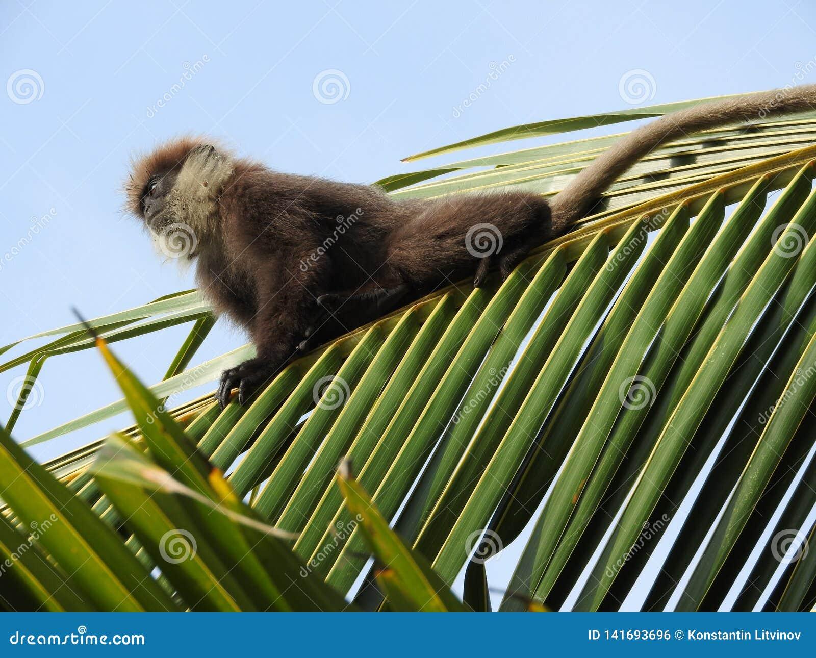 Purpurrot-gesichtige Langurs, moter und Baby, sitzend auf einer KokosnussPalme im natürlichen Lebensraum in Sri Lanka