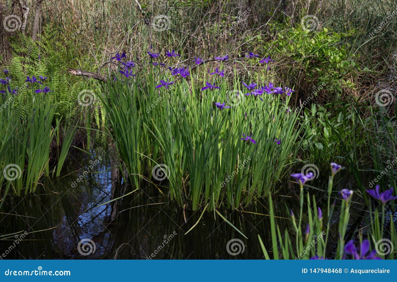 Purpurrote blaue Louisiana-Iris, die im Bayousumpfwasser wild wächst