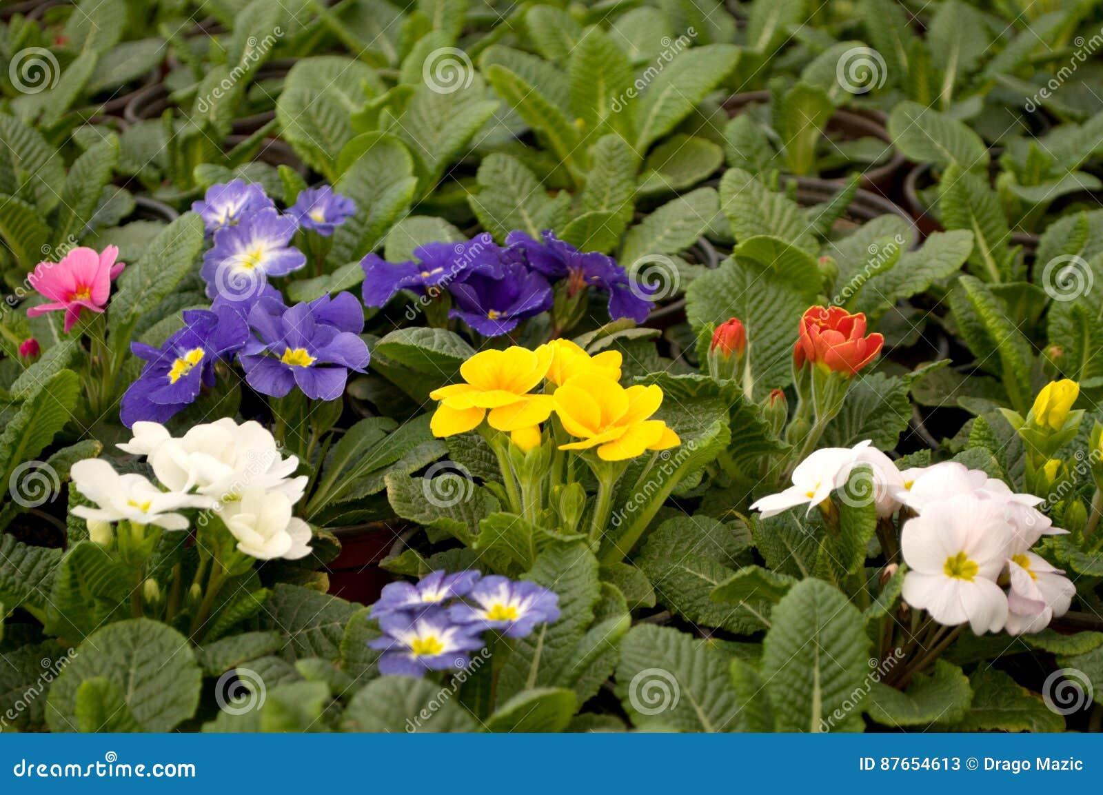 Purpurrote Blaue Und Weiße Blumen Blühen Im Februar Bereit Zum