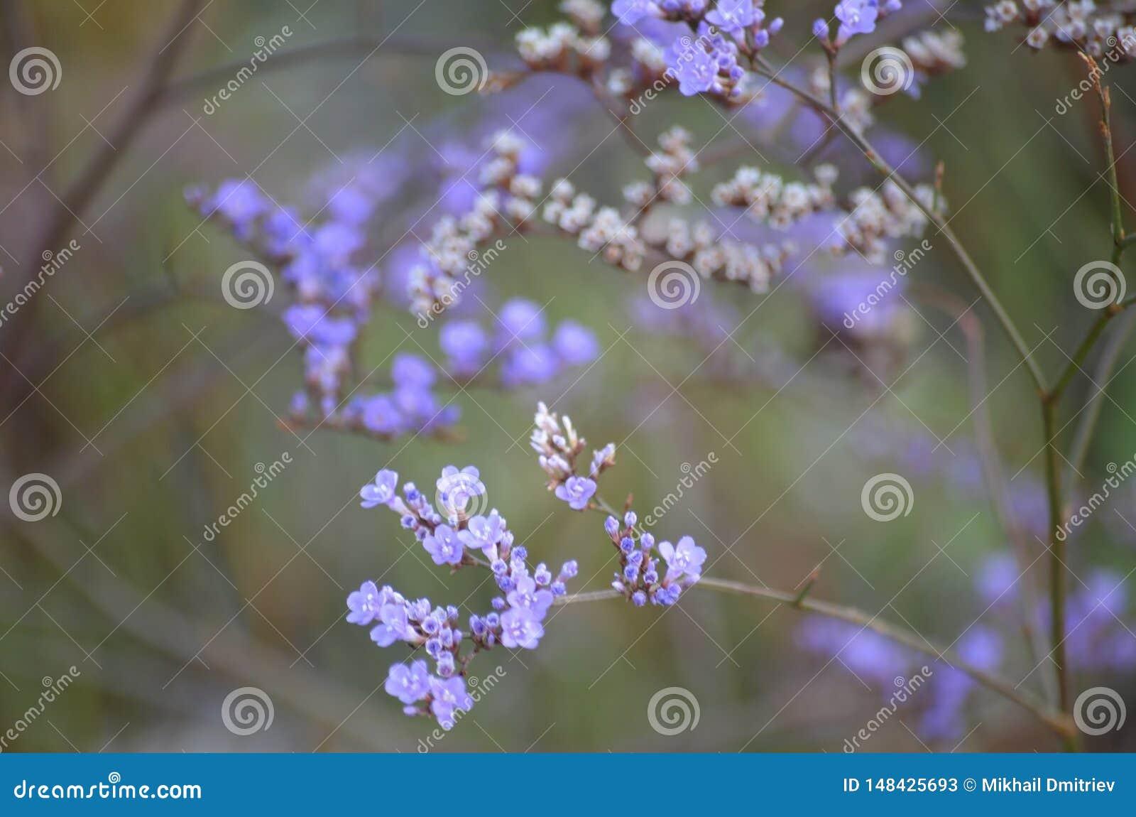 Purpurrote Blumen und grüne Felder an einem Sommertag Verbeneblumen gegen ein Feld von Blumen, selektiver Fokus