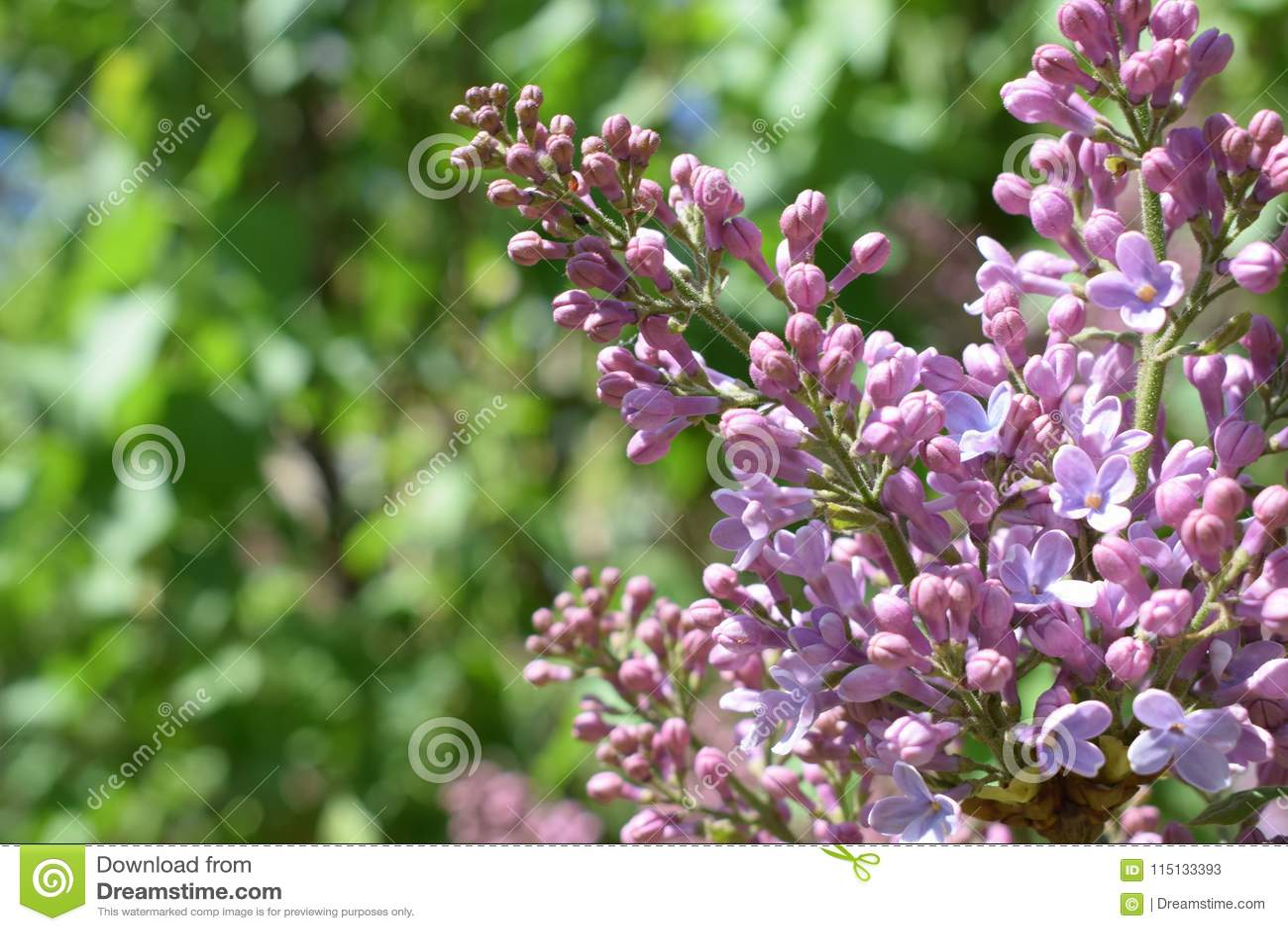 Purpurrote Flieder Set von 9 Abbildungen der wundervollen mehrfarbigen Tulpen Morgenschönheit