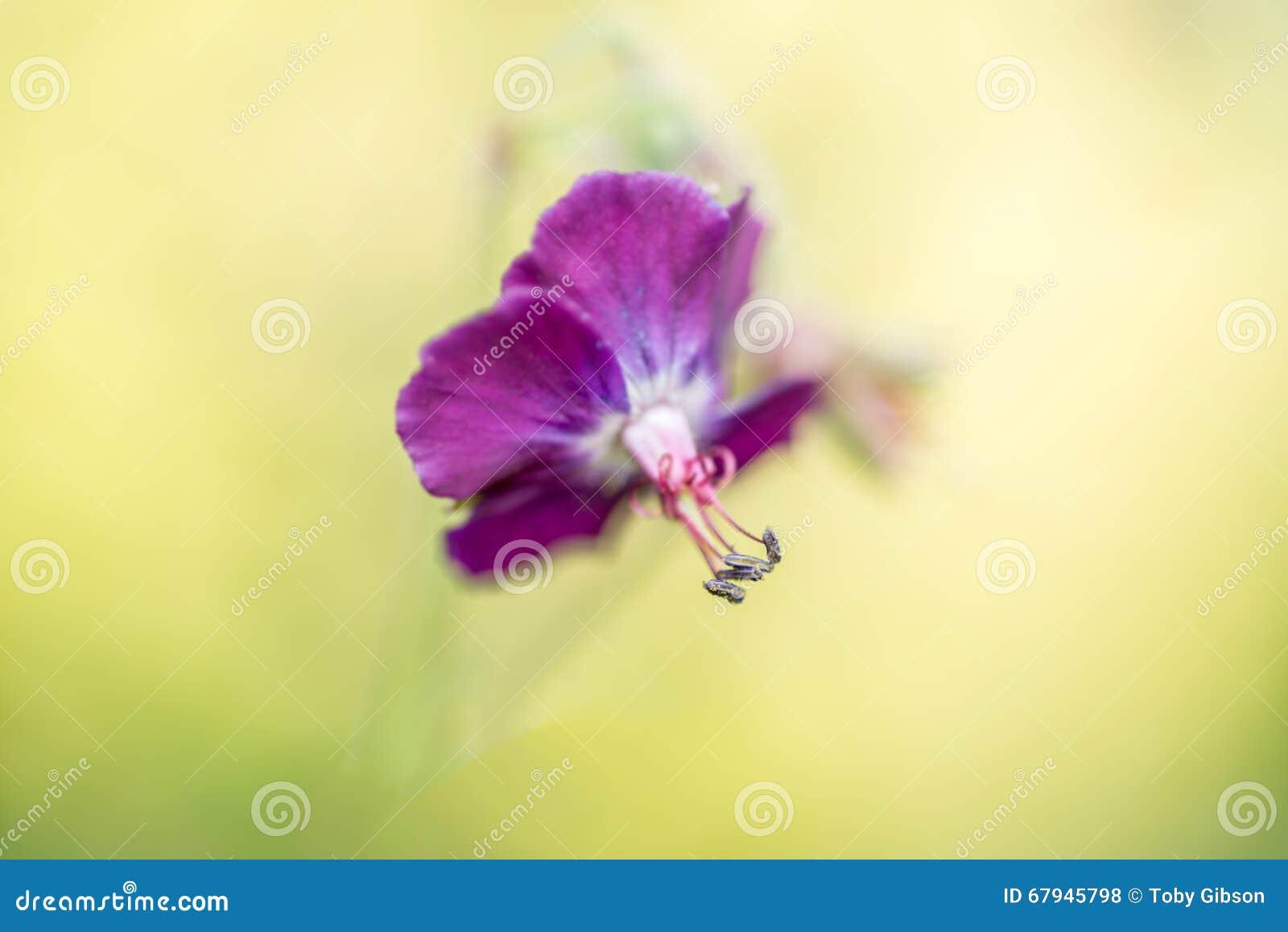 Purpurrote Frühlingsblumenzusammenfassung