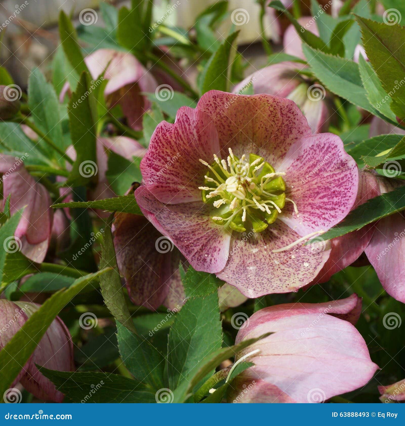 Purpurrote Helleboreblume Des Weihnachten Rose Stockbild - Bild von ...
