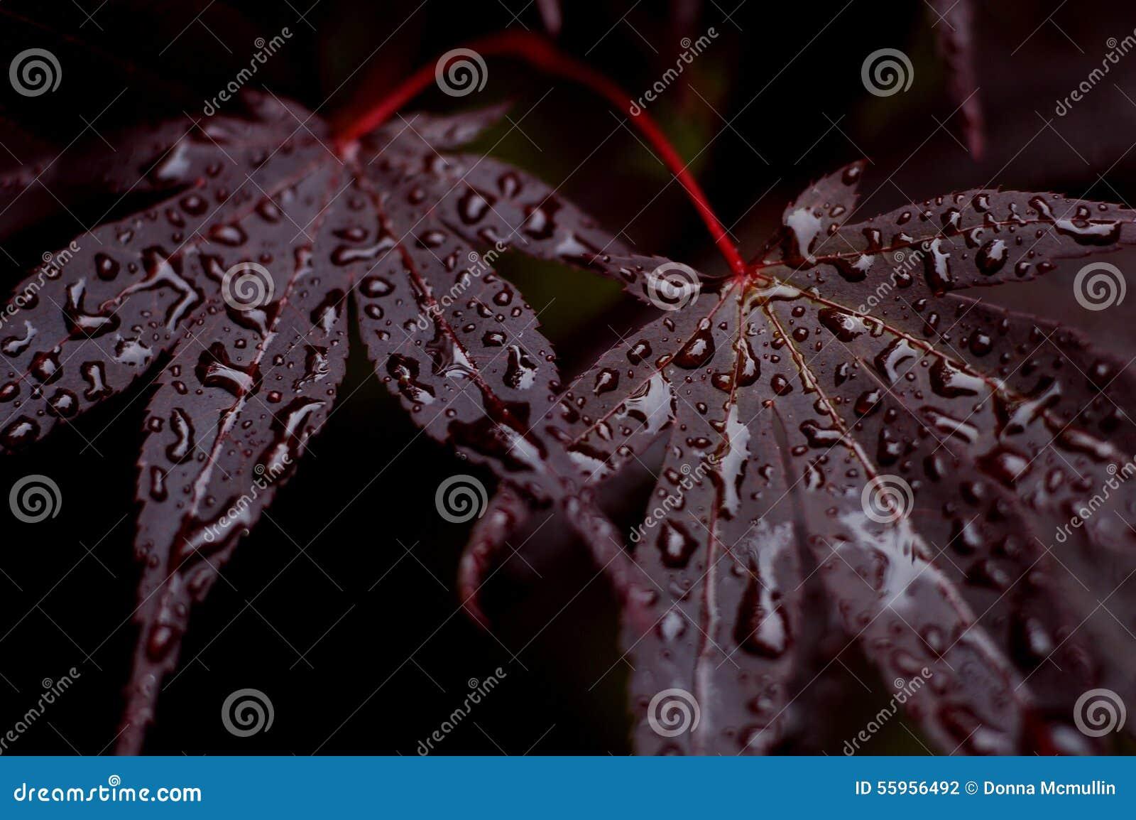 Purpurrote japanische Ahornbaumblätter mit Wassertropfen