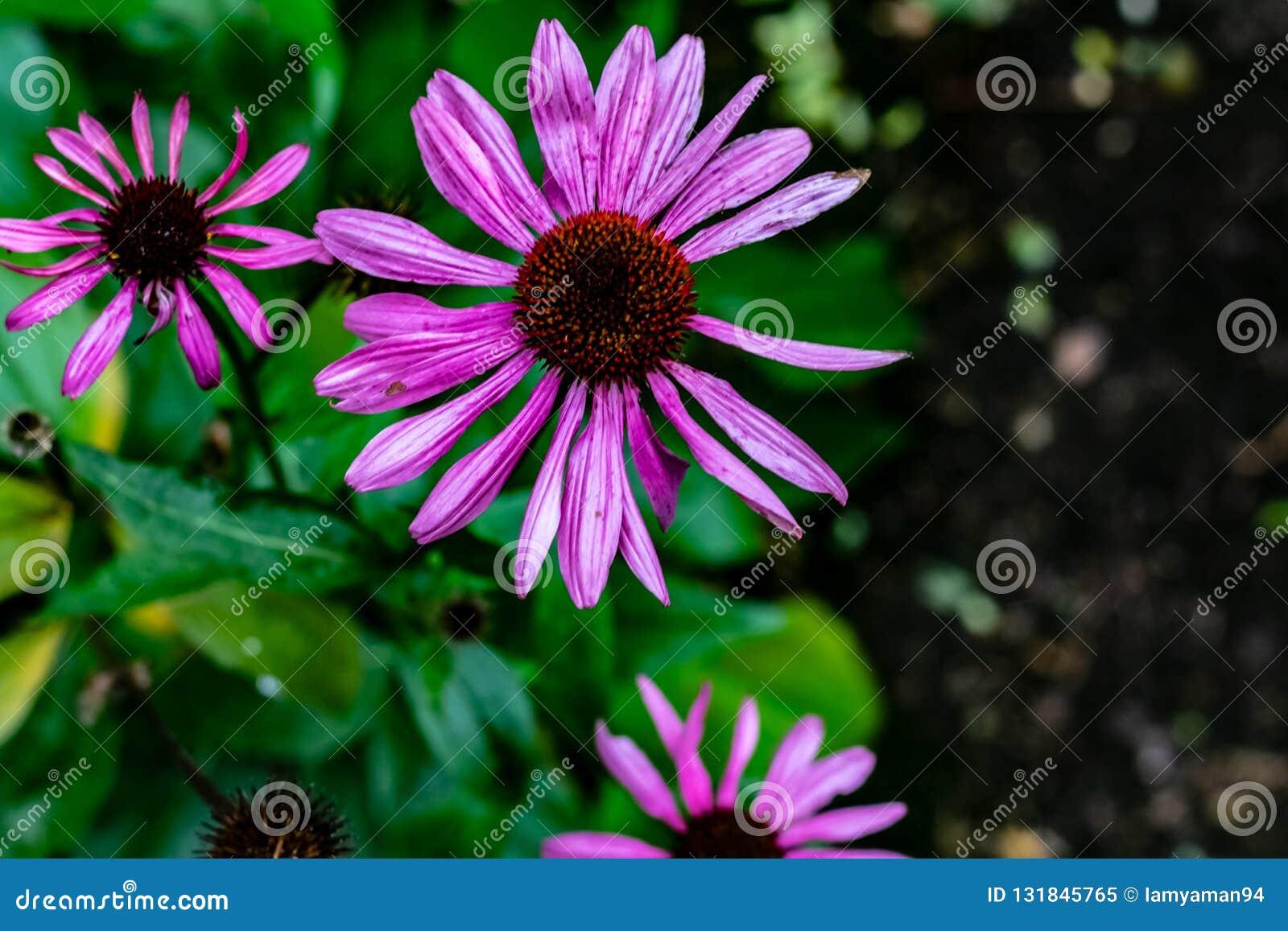 Purpurrote Kegelblumen und -anlage am Saisonende