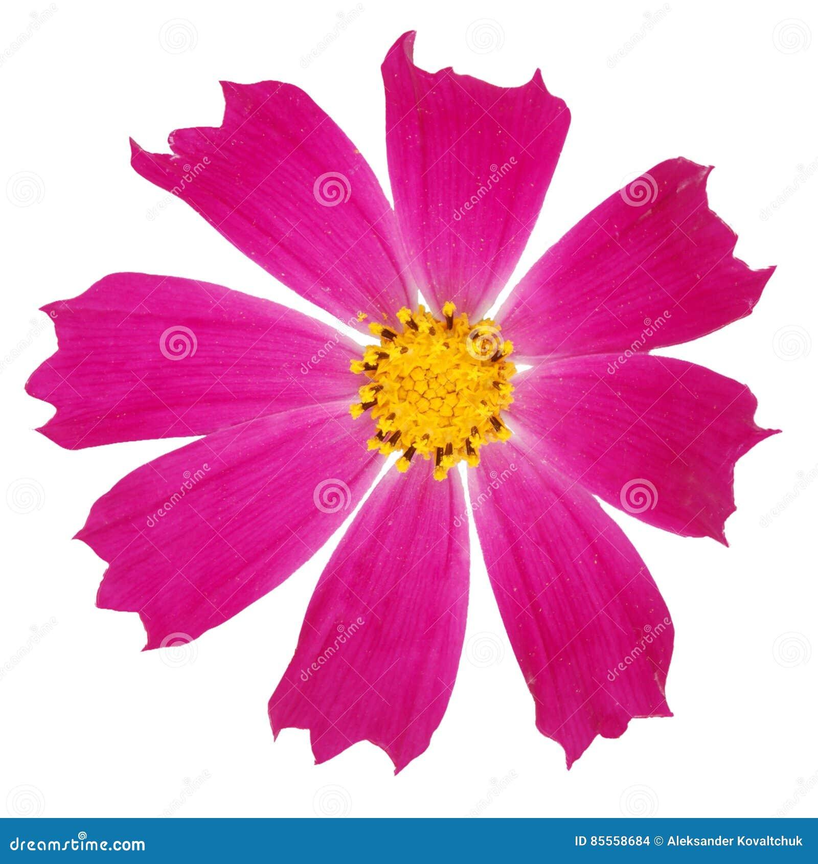 Purpurrote kosmeya Blume
