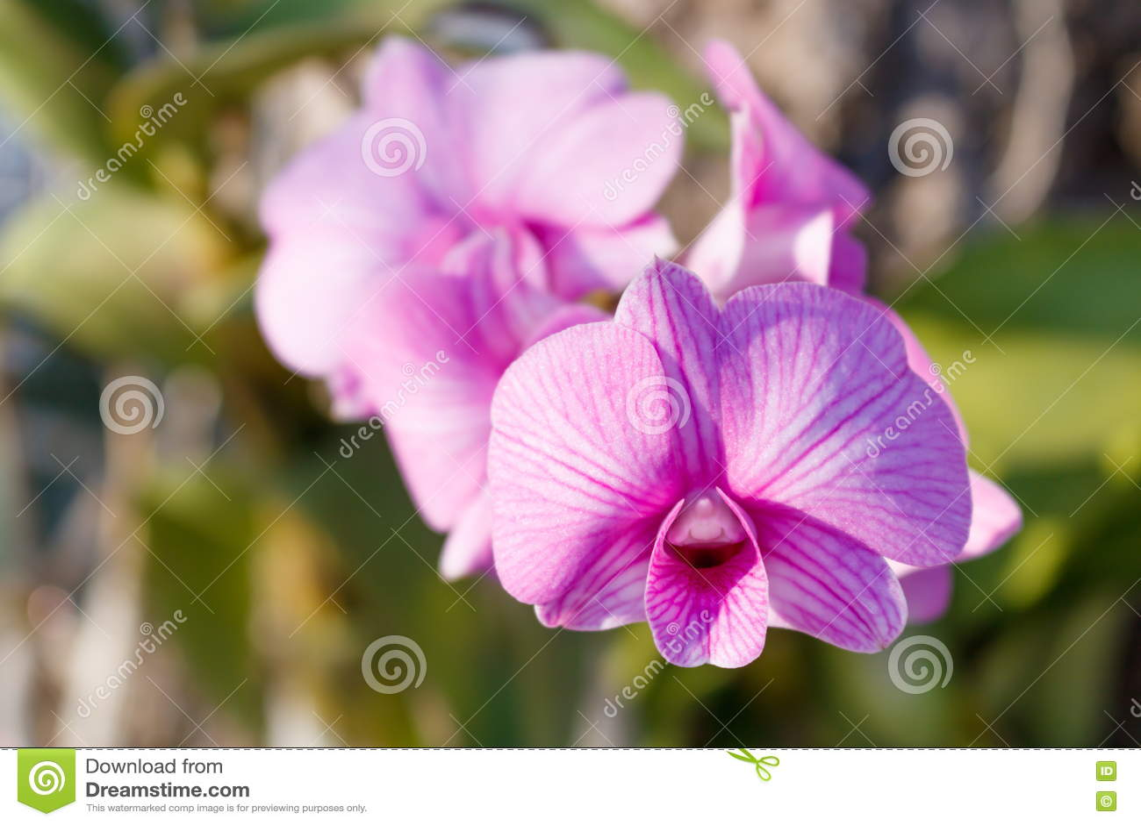 Purpurrote Orchidee