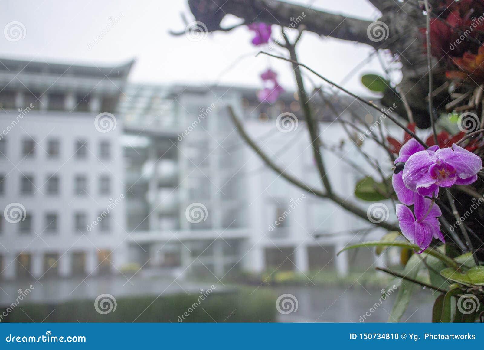 Purpurrote Orchidee Anggrek Bulan