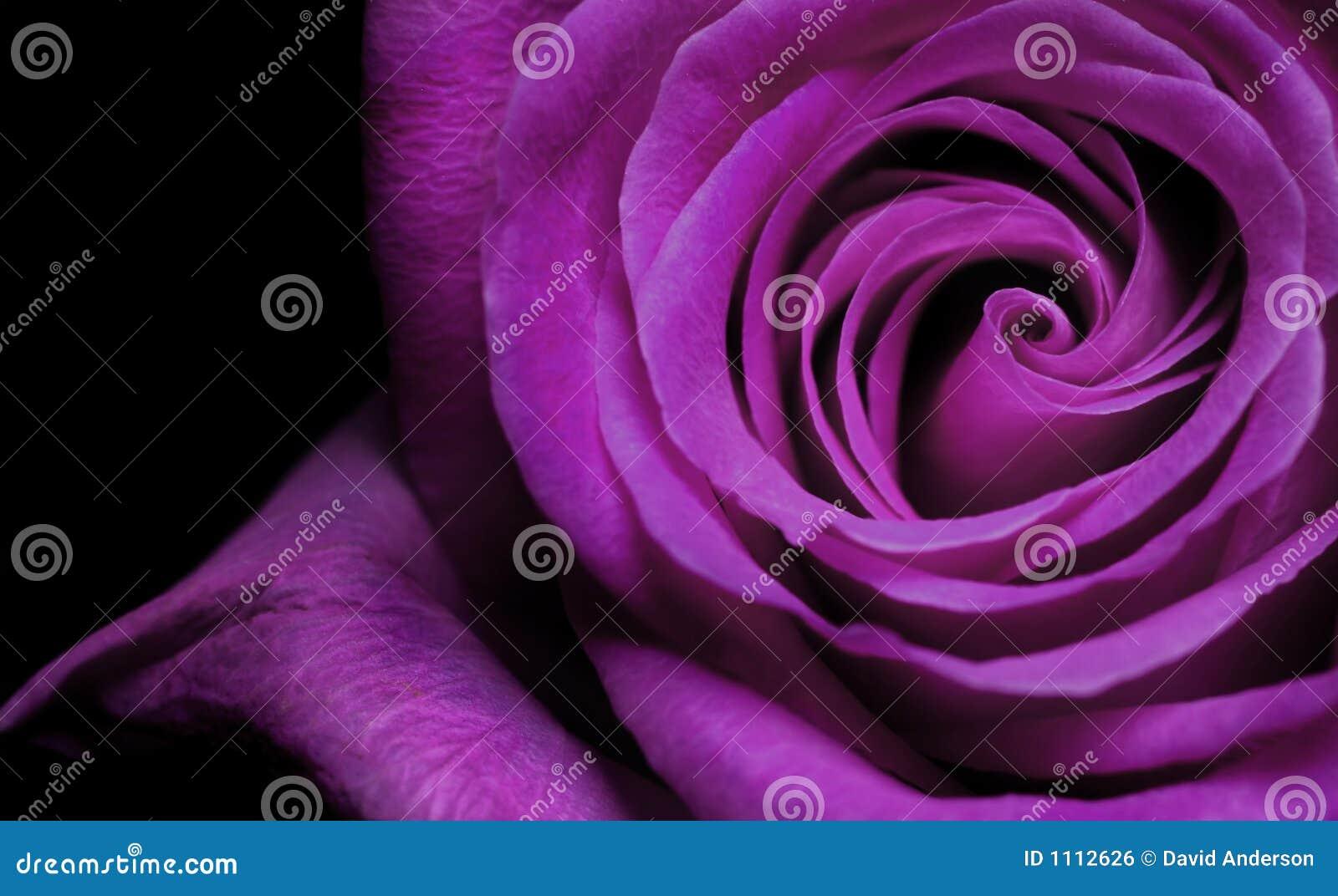 Purpurrote Rose
