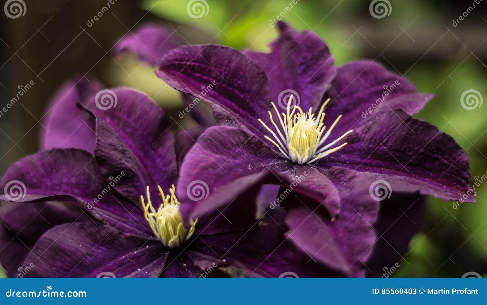 Purpurrote Schönheiten