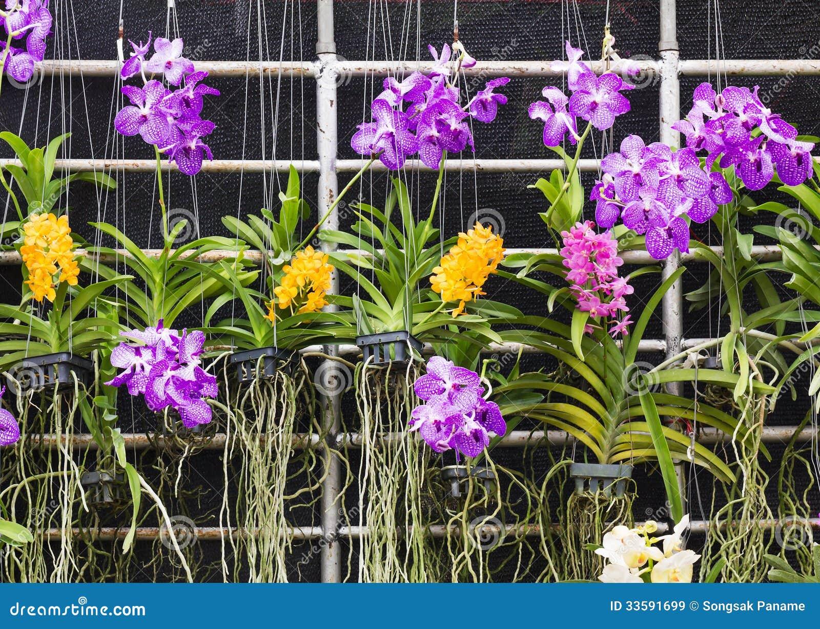 purpurrote vanda orchidee stockbild bild von asien. Black Bedroom Furniture Sets. Home Design Ideas