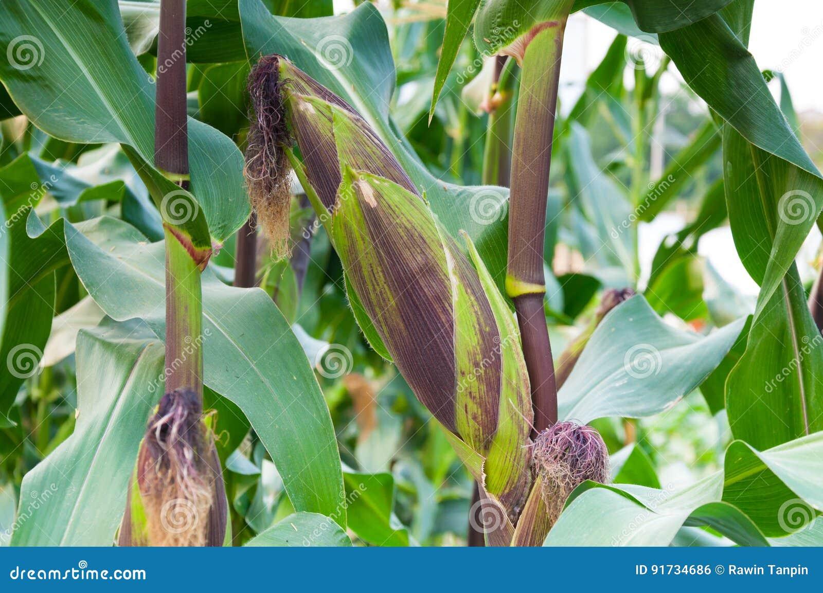 Purpurroter frischer Mais des Pfeilers auf dem Stiel, bereiten für Ernte, purpurroter Mais in der Feldlandwirtschaft vor